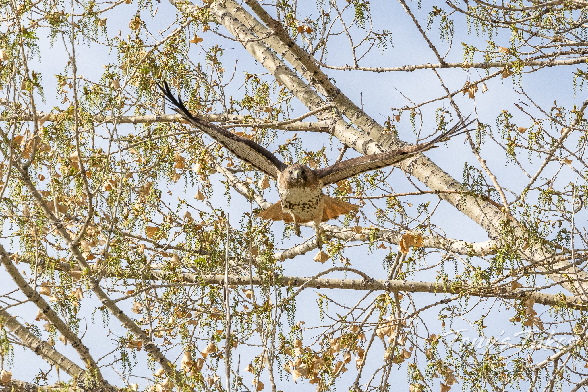 Red-tailed hawk launches head on