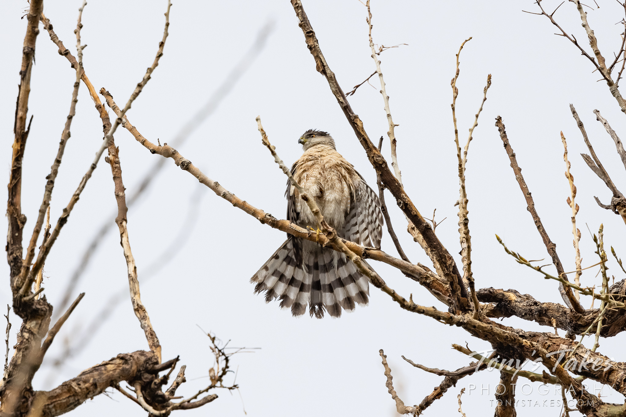 A Cooper's hawk dries out after pursuing an owl in the rain. (© Tony's Takes)