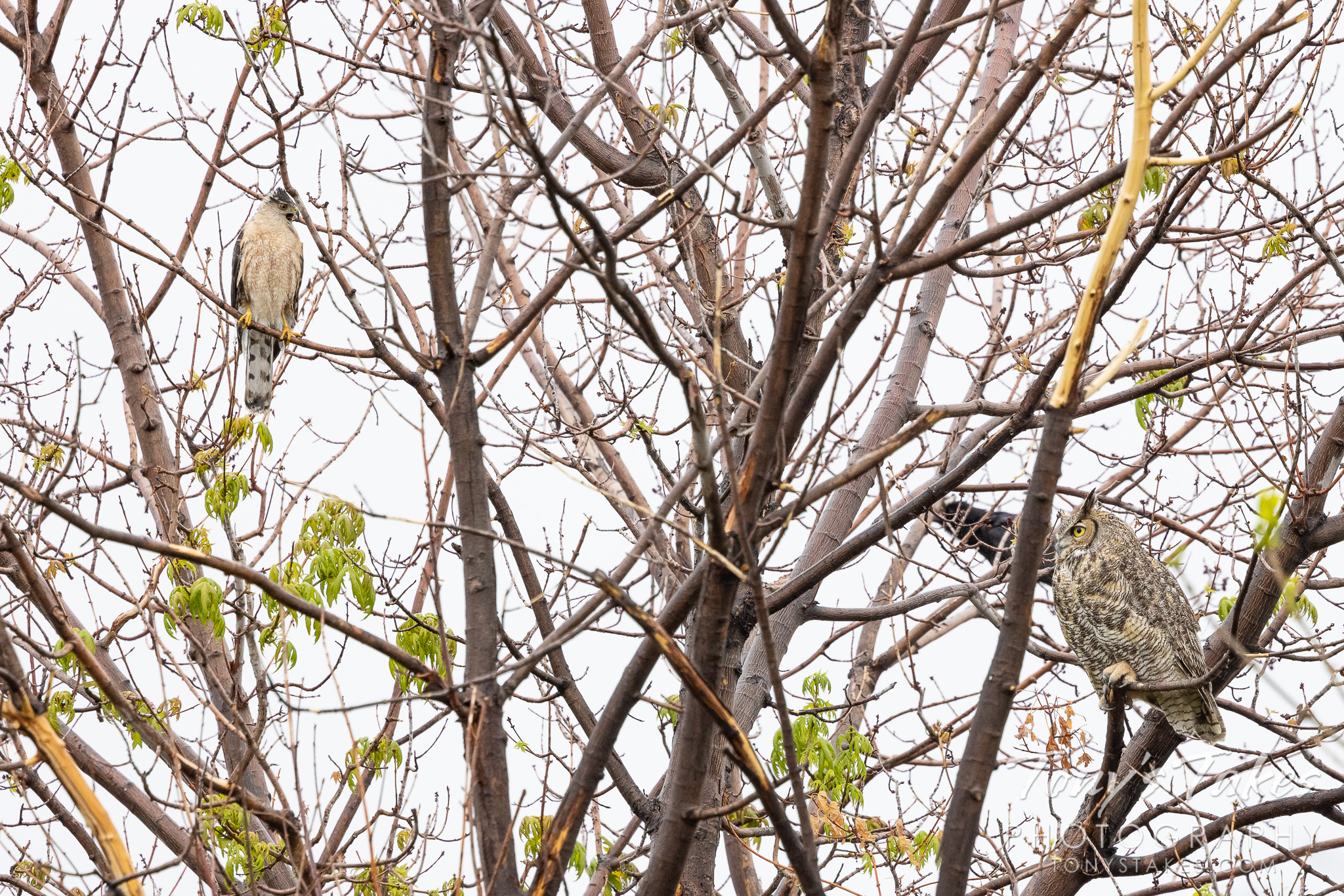 Another reason to visit mom: Great horned owl and Cooper's hawk battle