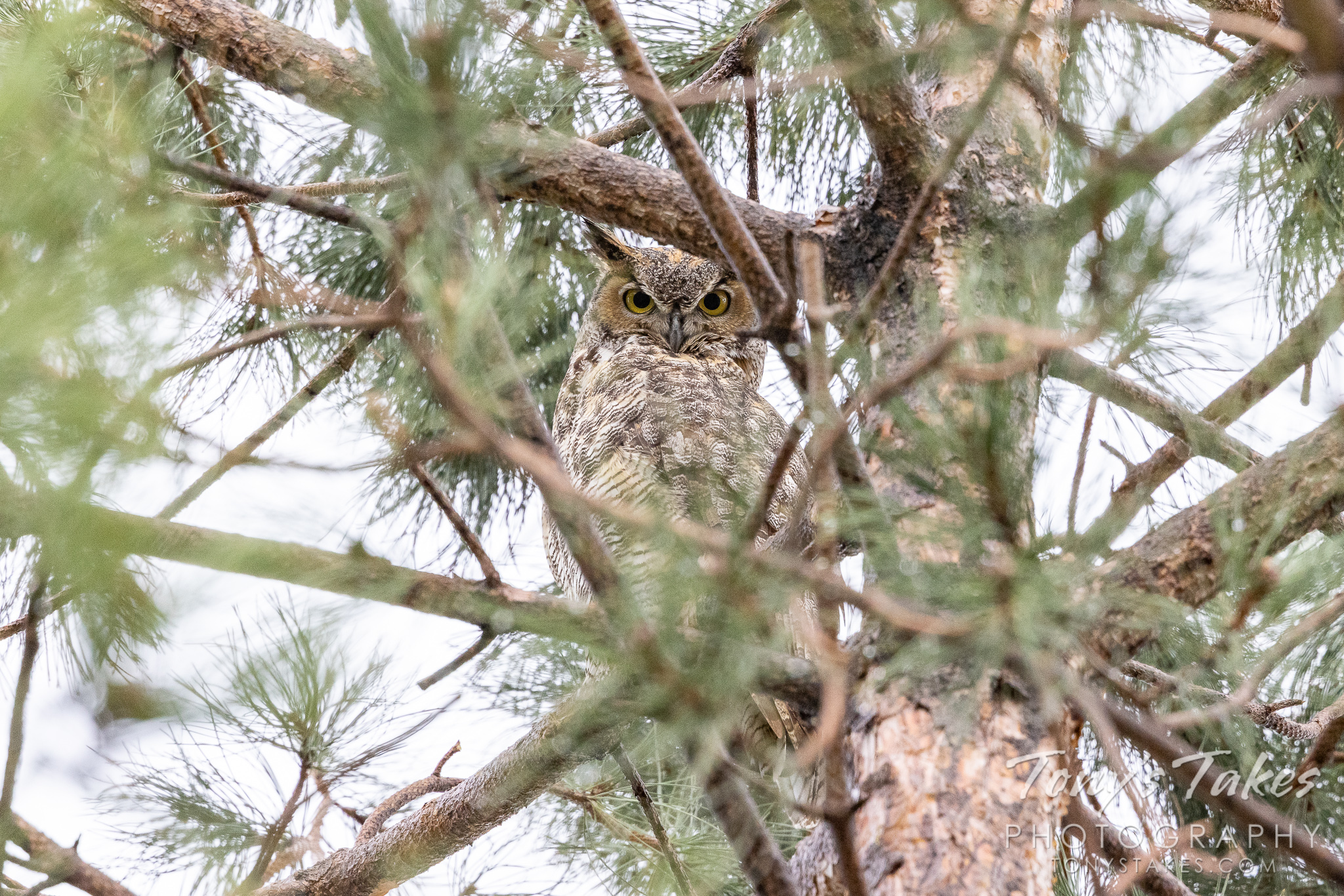 A great horned owl seeks refuge from an attacking hawk. (© Tony's Takes)