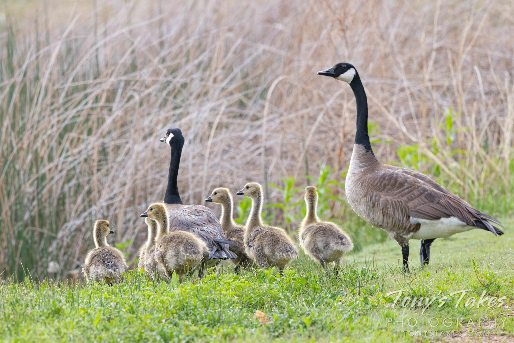 Goose family goes for a walk