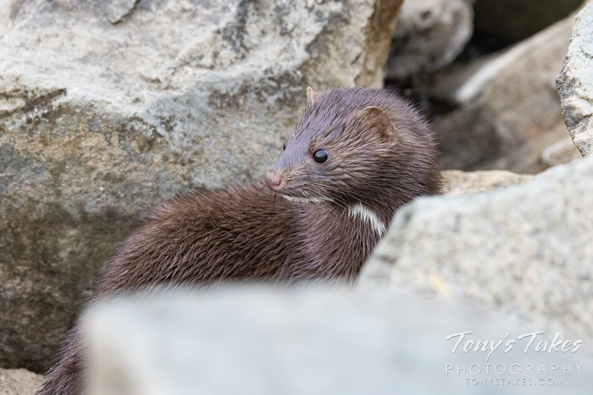 American mink keeps watch for a meal