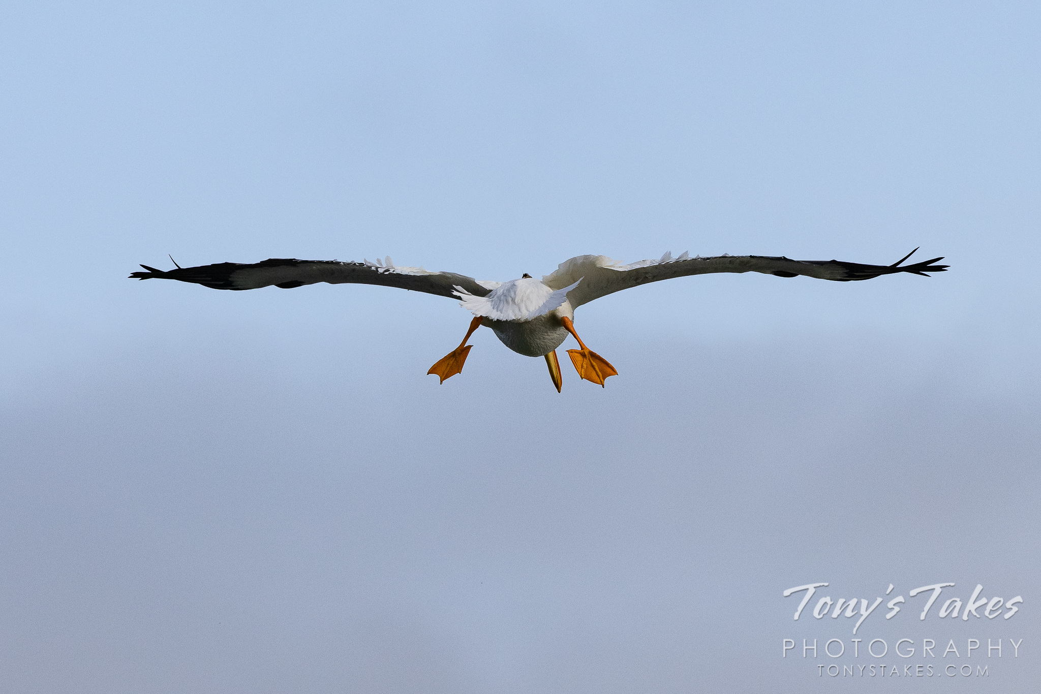 An American white pelican prepares to land on a pond. (© Tony's Takes)