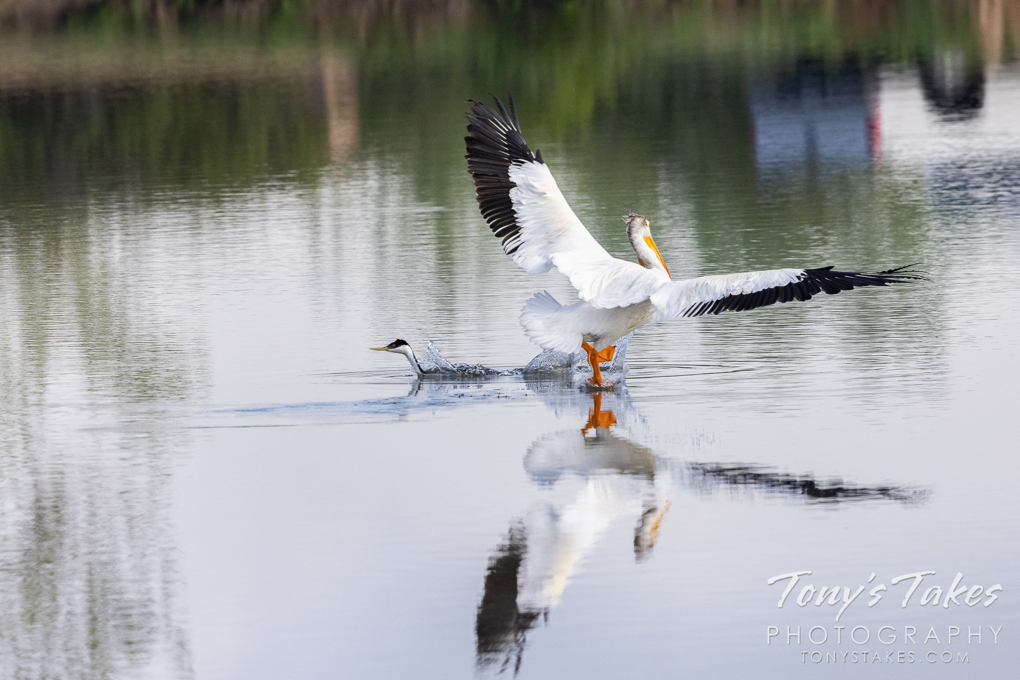 A pelican lands right near a western grebe. (© Tony's Takes)