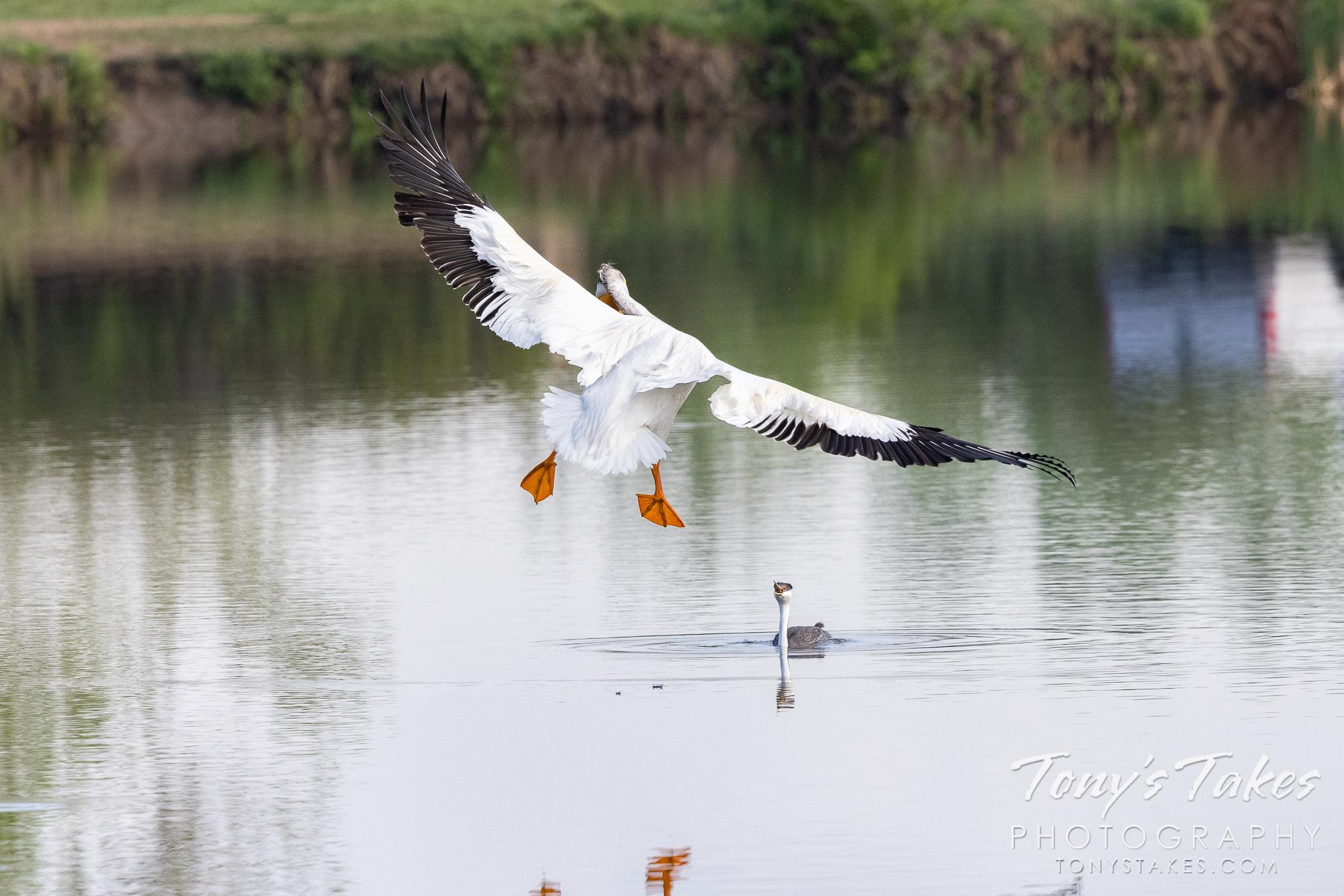 Pelican drops in on a western grebe
