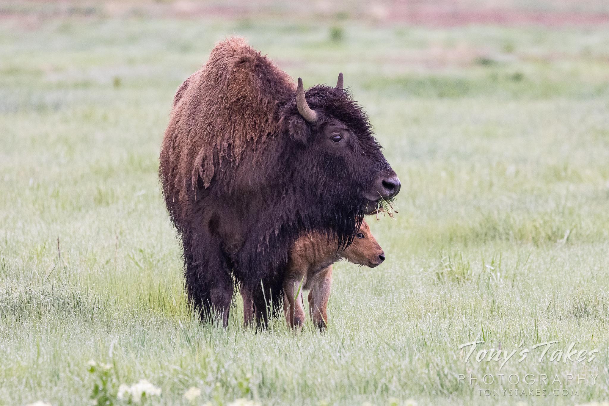 Newborn bison hides behind its mama