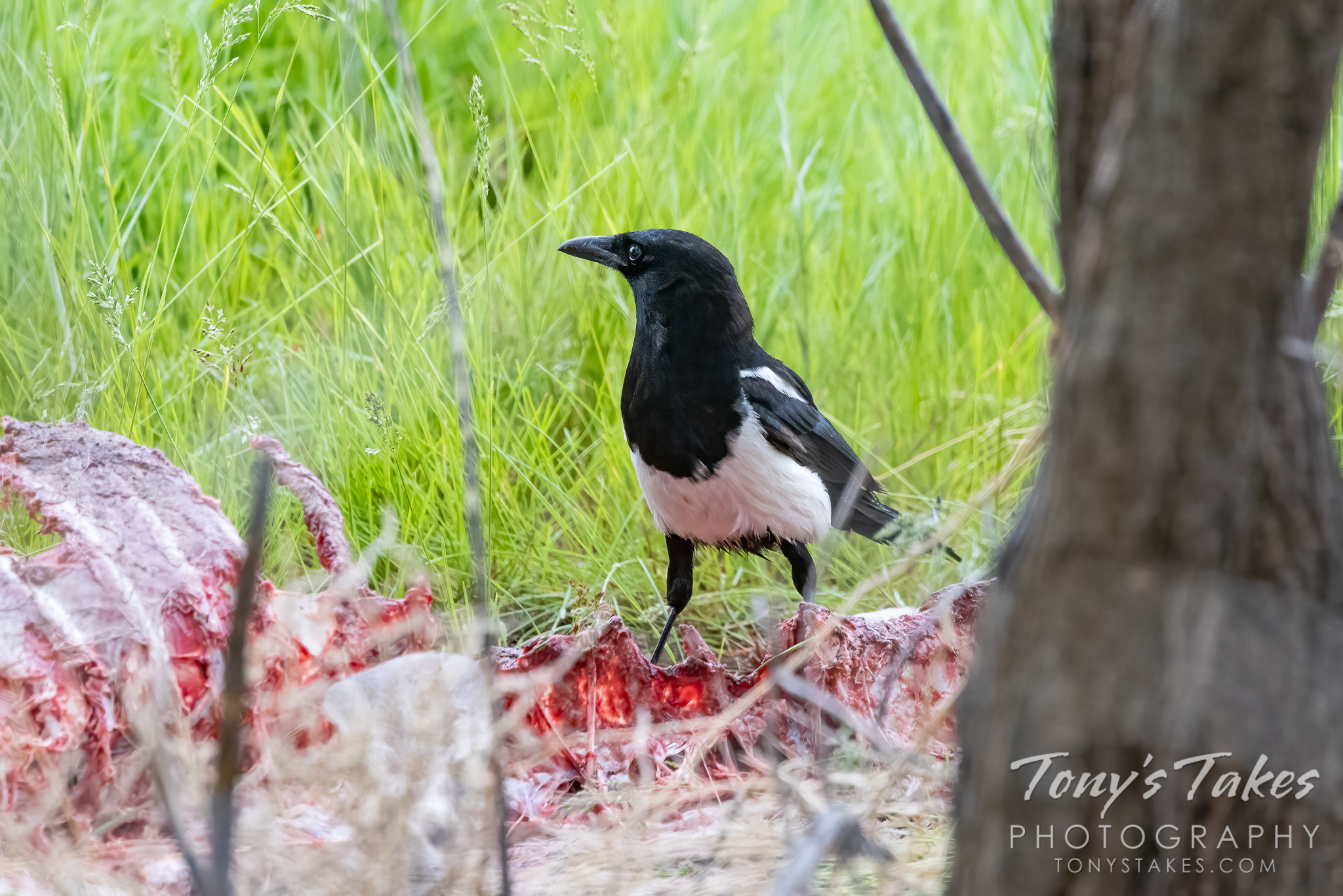 Magpie scavenges a meal
