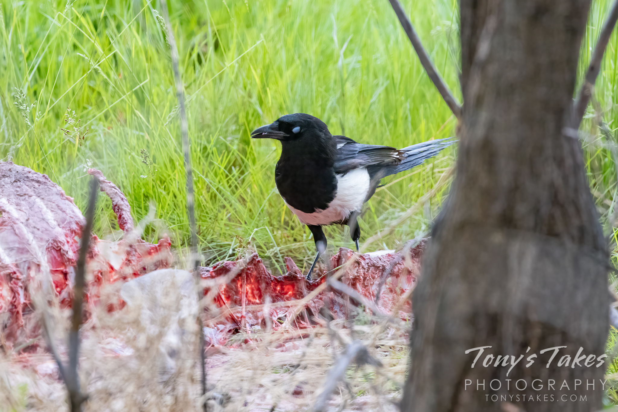 A magpie scavenges off of a deer carcass. (© Tony's Takes)