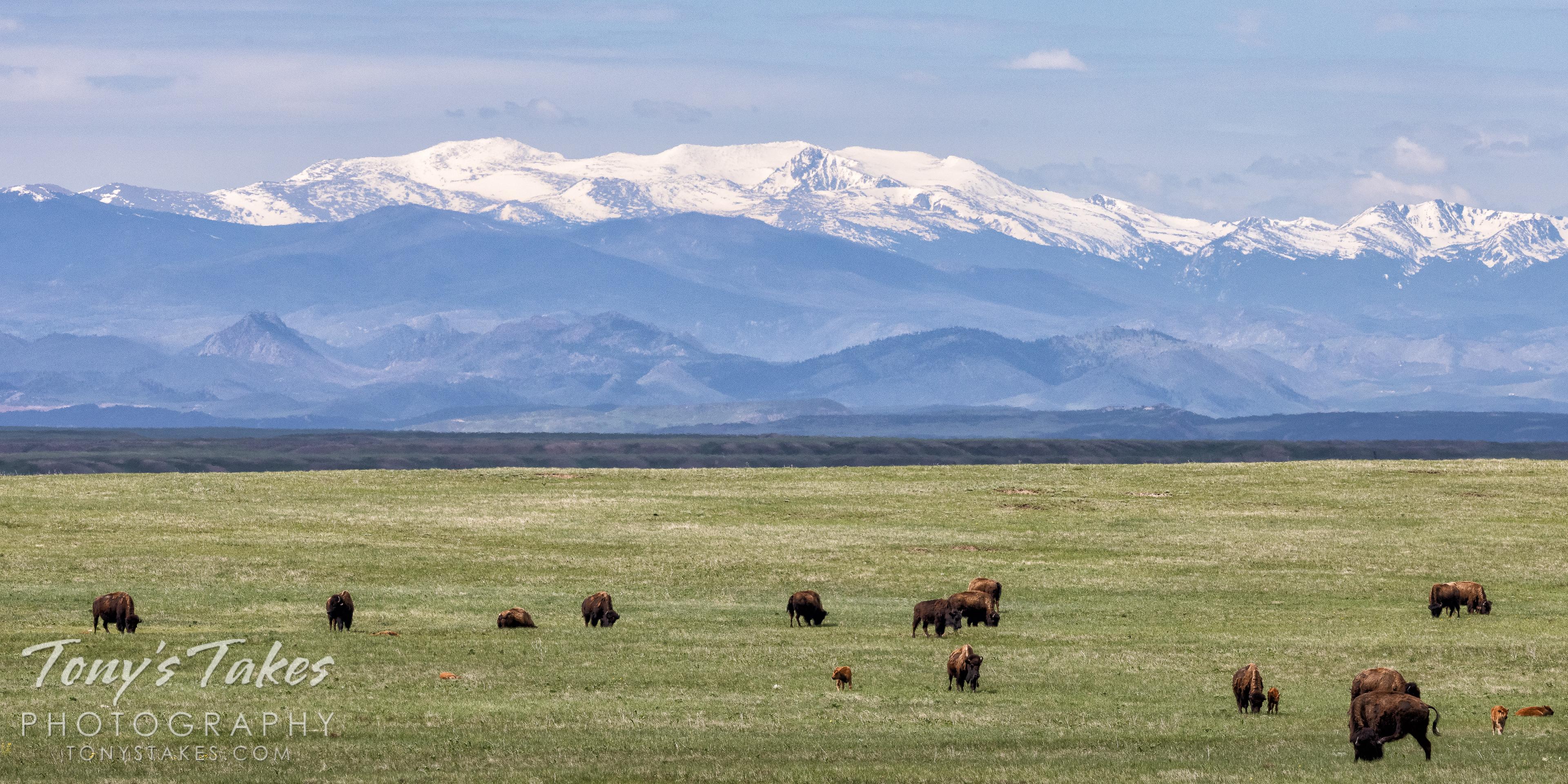 Bison at home on the range on Tatanka Tuesday
