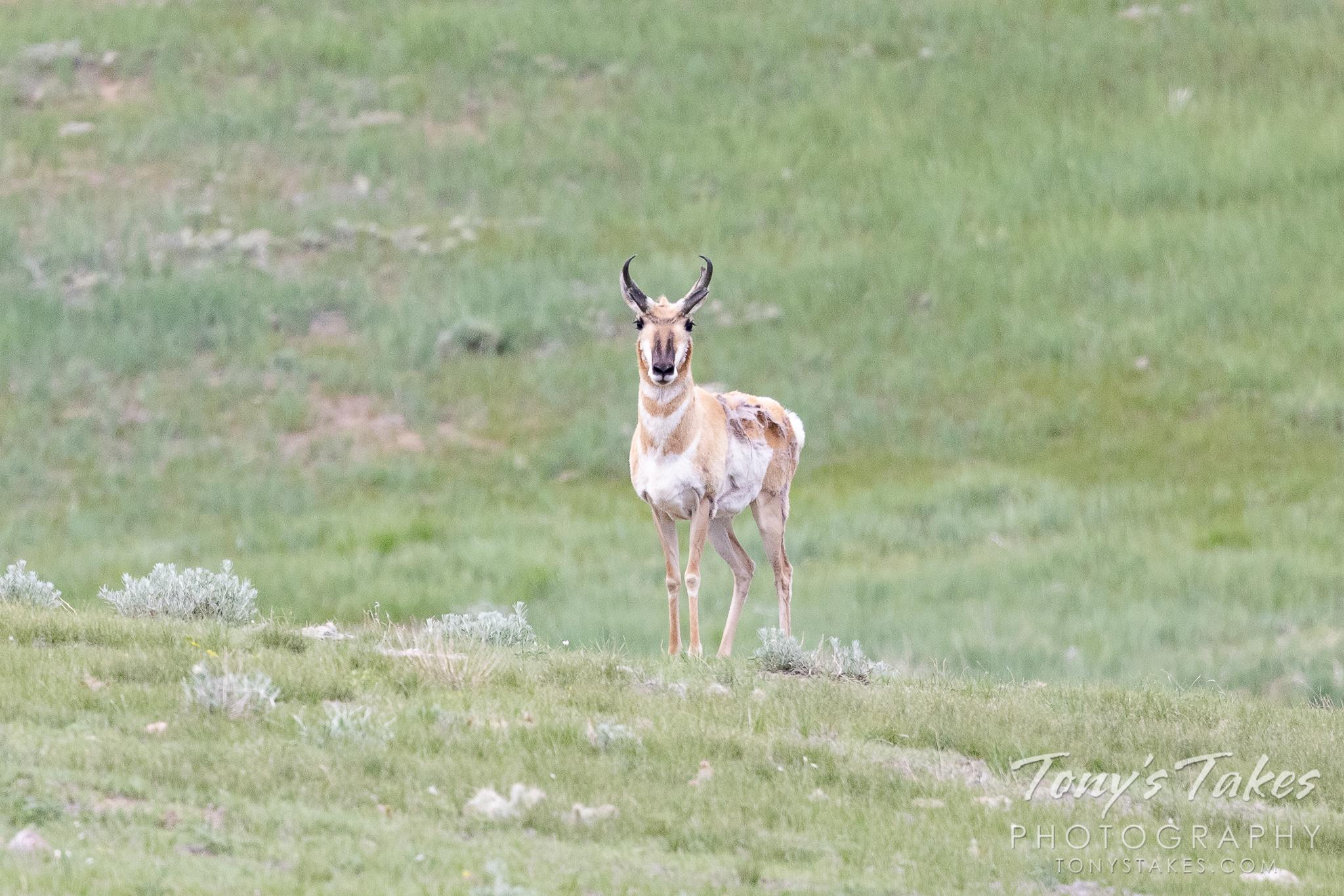 Pronghorn buck keeping his distance