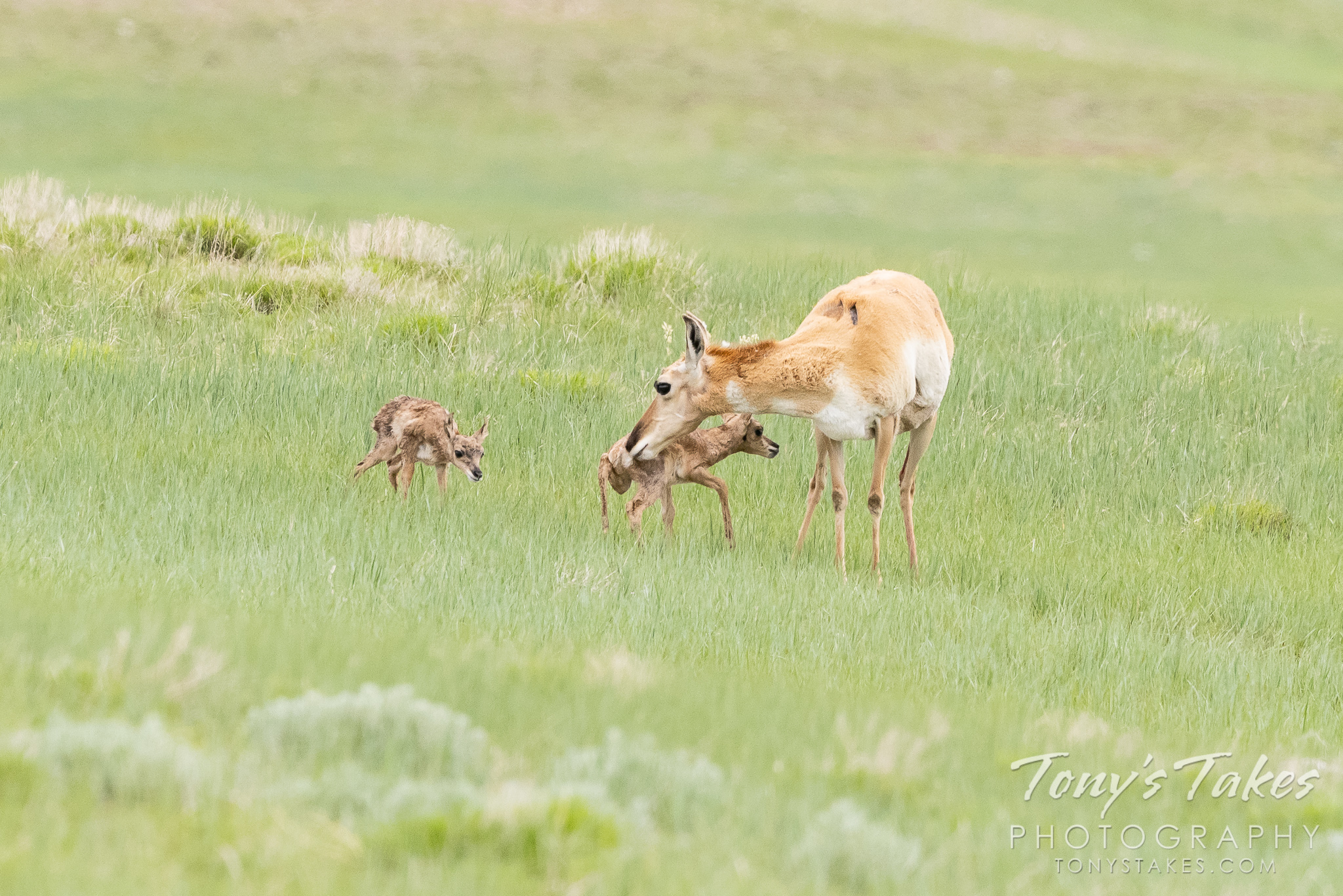 A pronghorn doe with her two newborn fawns on the Colorado plains. (© Tony's Takes)