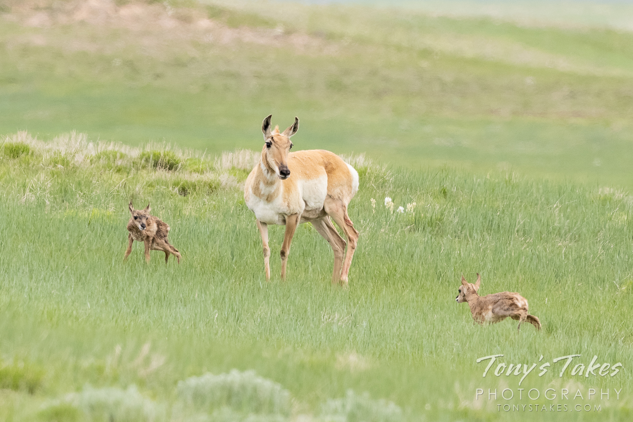 New life on the northern Colorado plains as pronghorn doe has twins