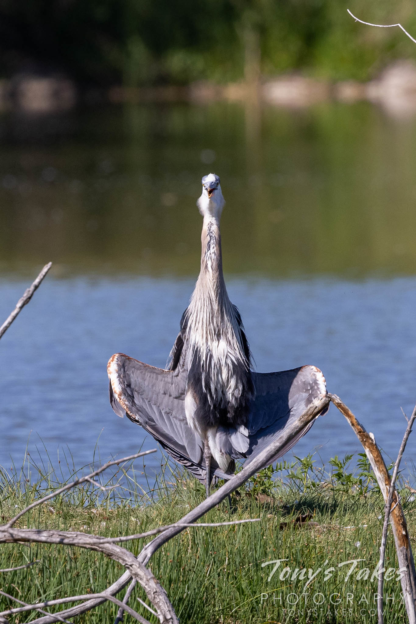 Great blue heron tries to cool its armpits