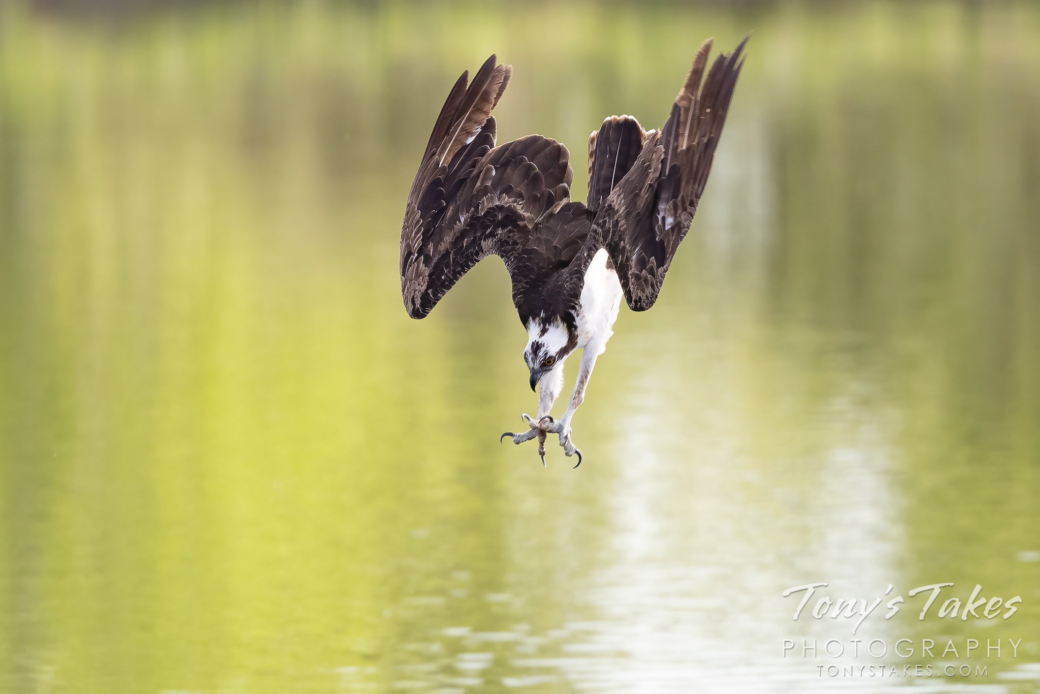 Osprey takes a dive for a meal
