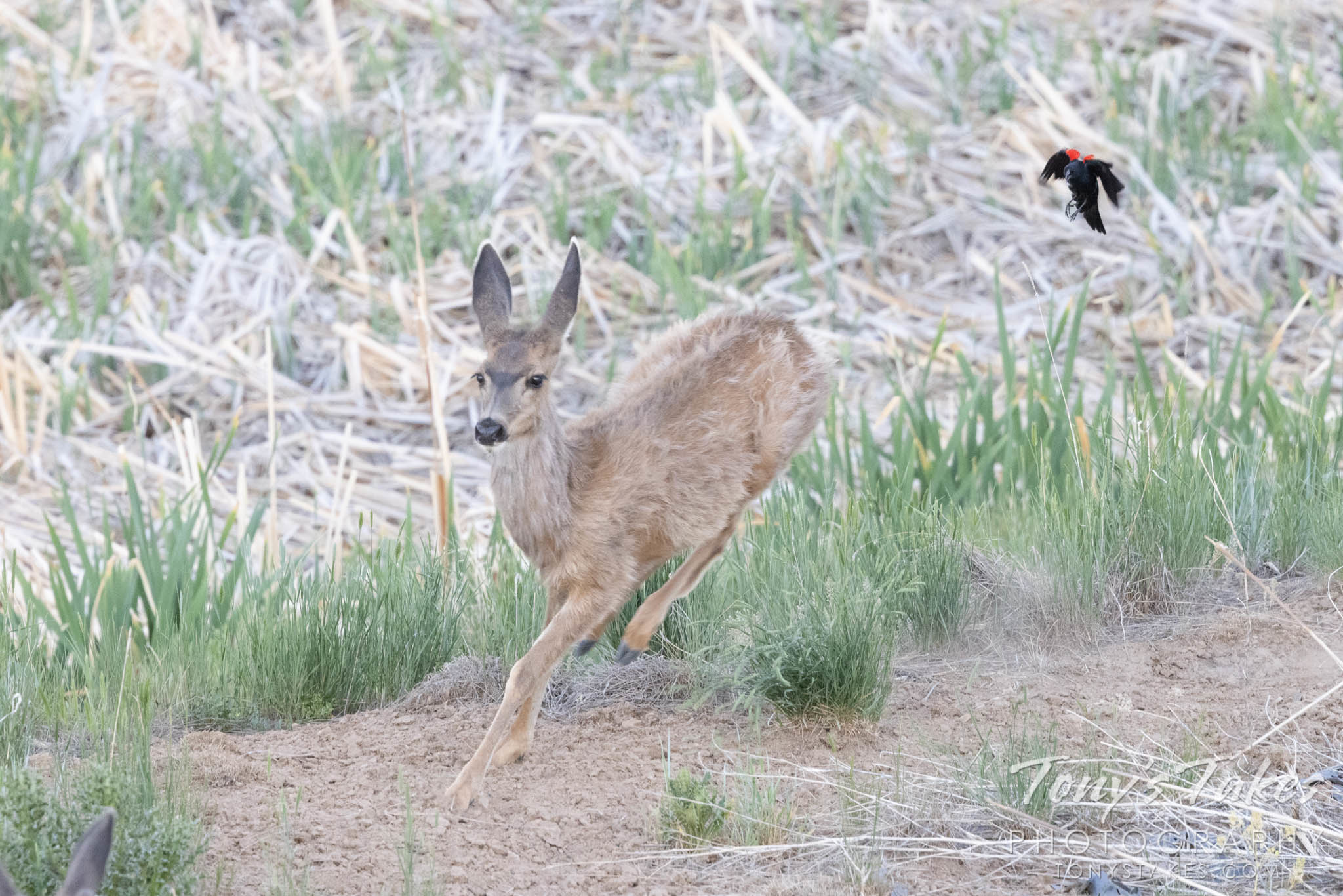 A deer is chased off by a red-winged blackbird. (Tony's Takes)
