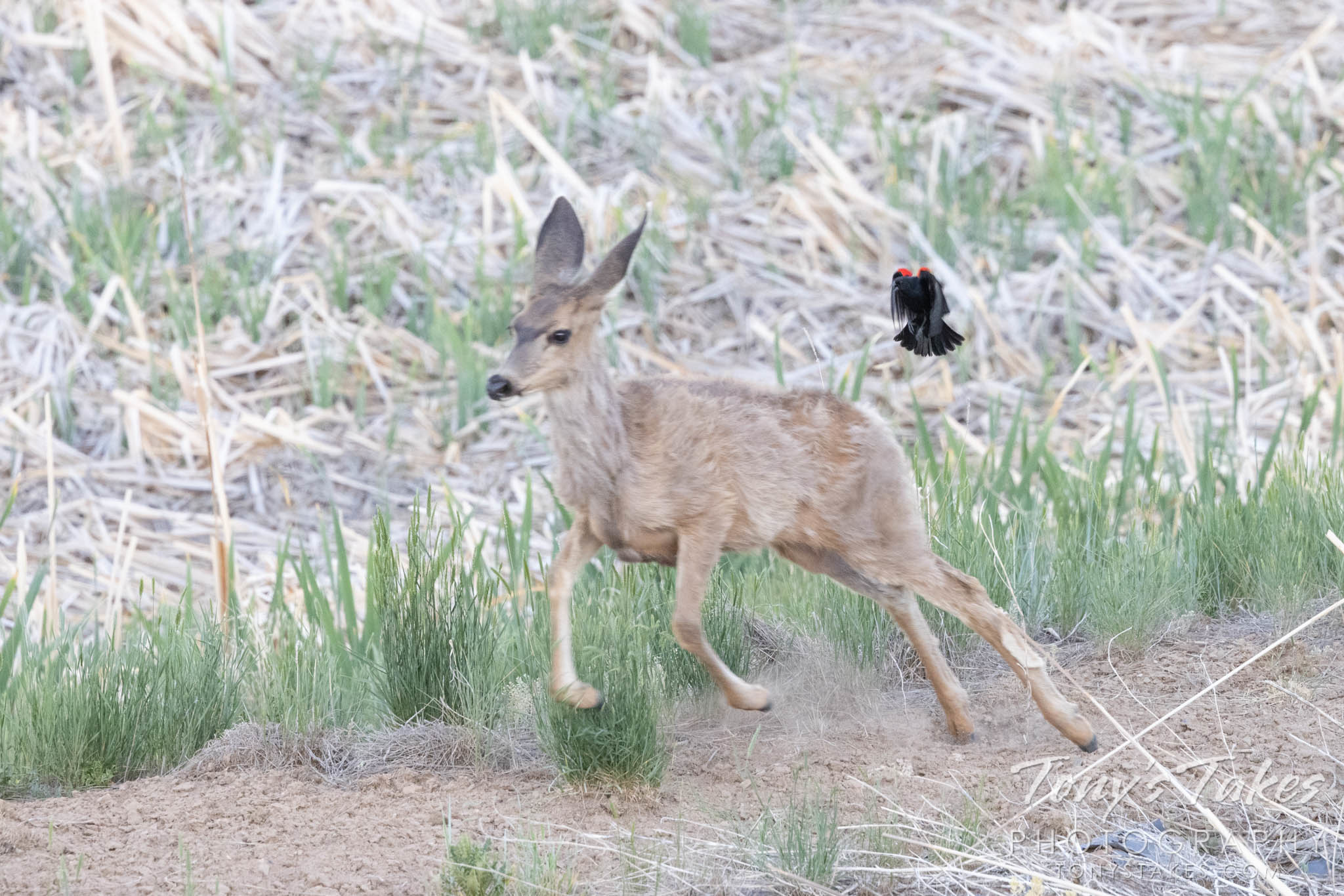 A young deer is chased off by a male red-winged blackbird. (Tony's Takes)