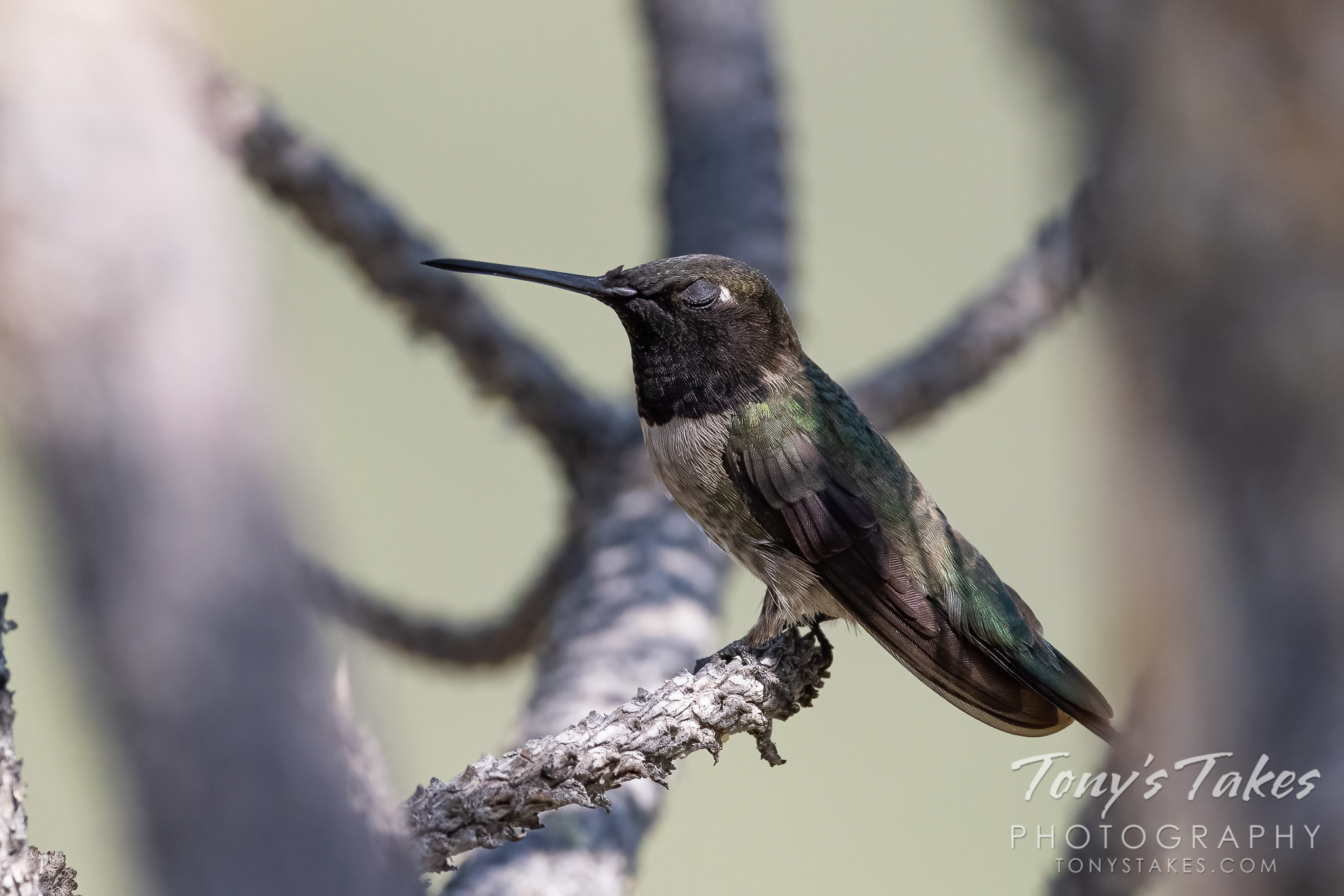 A male black-chinned hummingbird hangs out in a pine tree. (Tony's Takes)