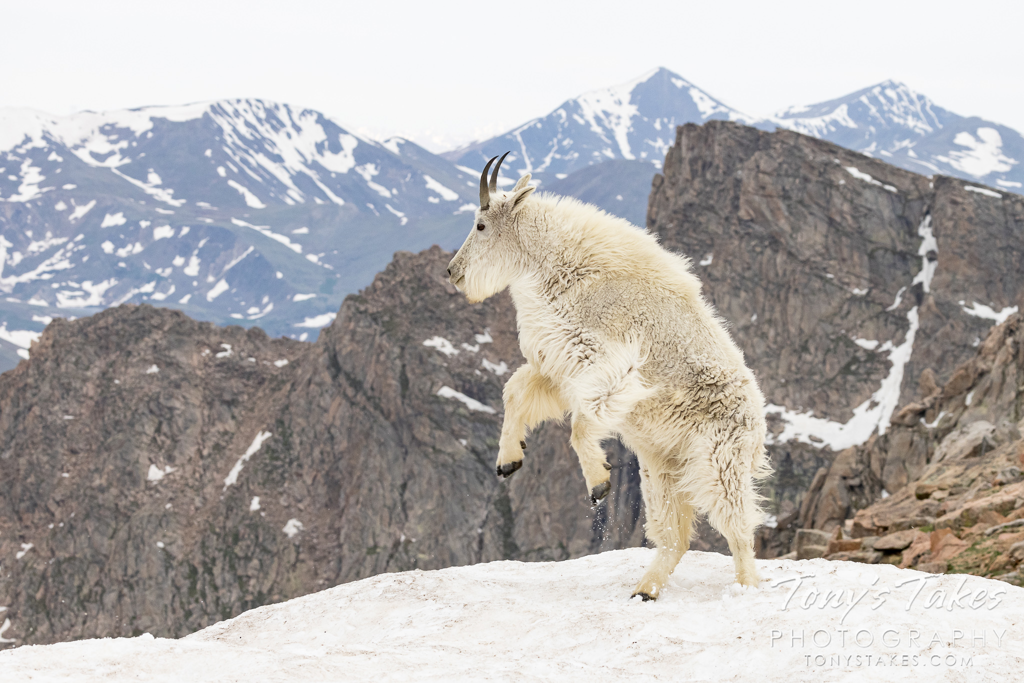 Mountain goat gets the zoomies
