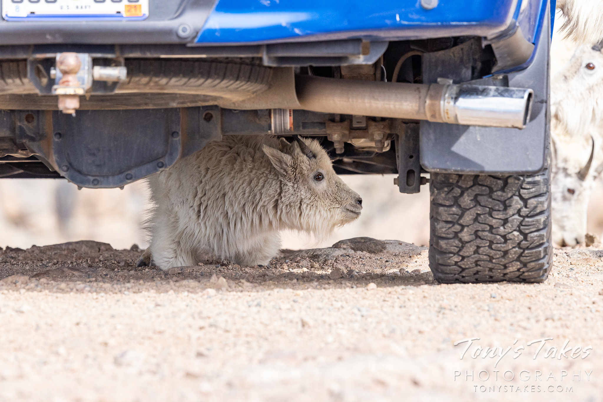 Mountain goat kid hunkers down under the photographer's truck