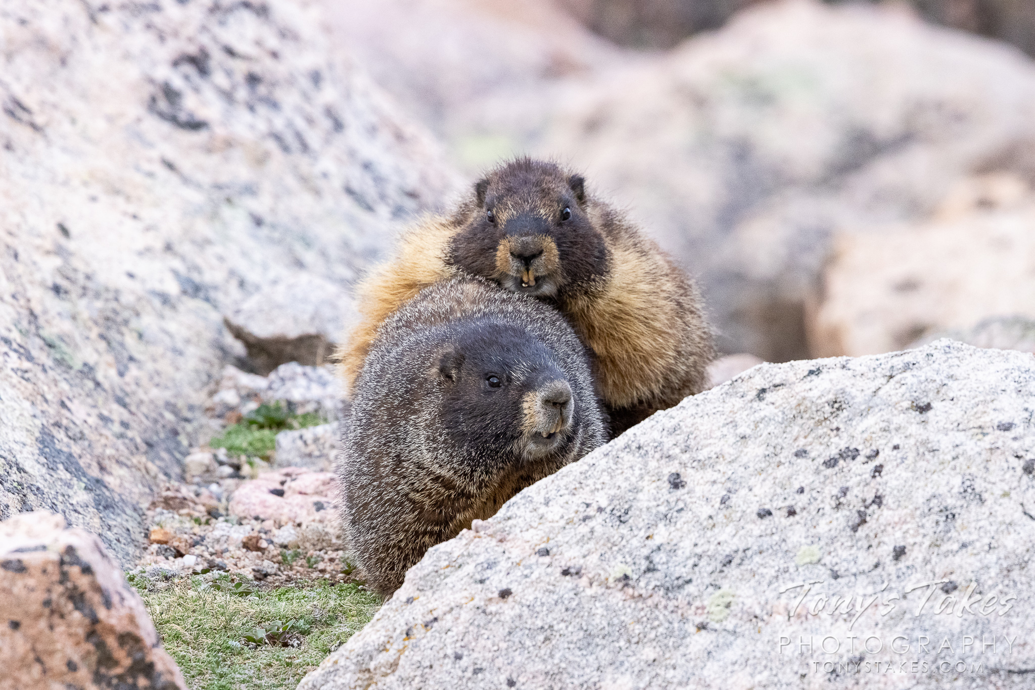 Mating yellow-bellied marmots. (Tony's Takes)