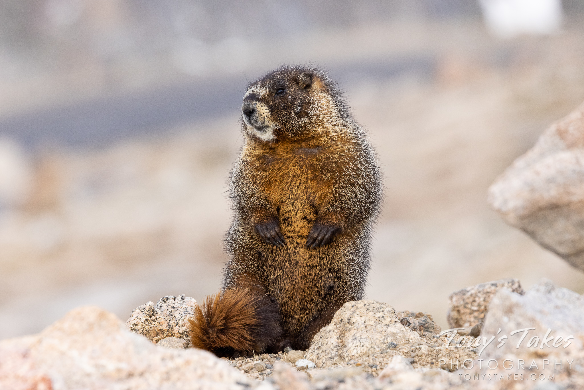 Marmot sits up, strikes a pose