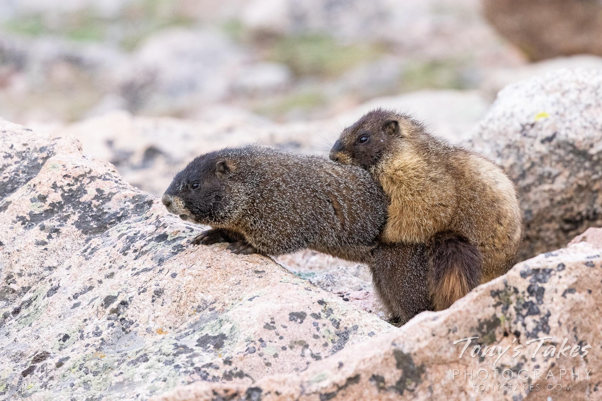 Yellow-bellied marmots work on making marmot babies