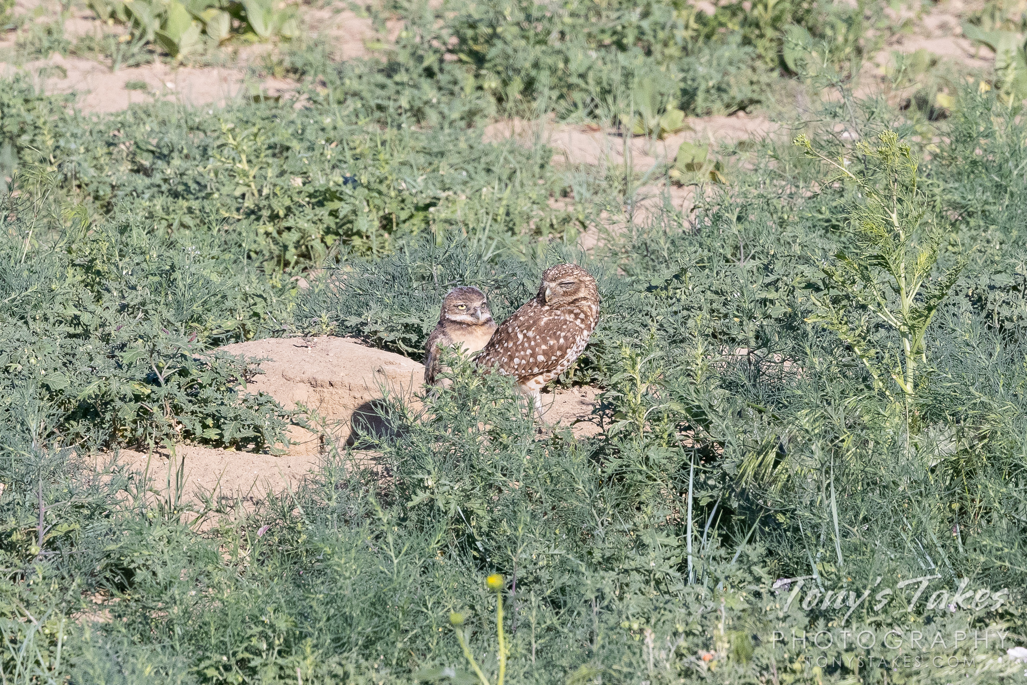 First burrowing owl owlet of the season for Father's Day