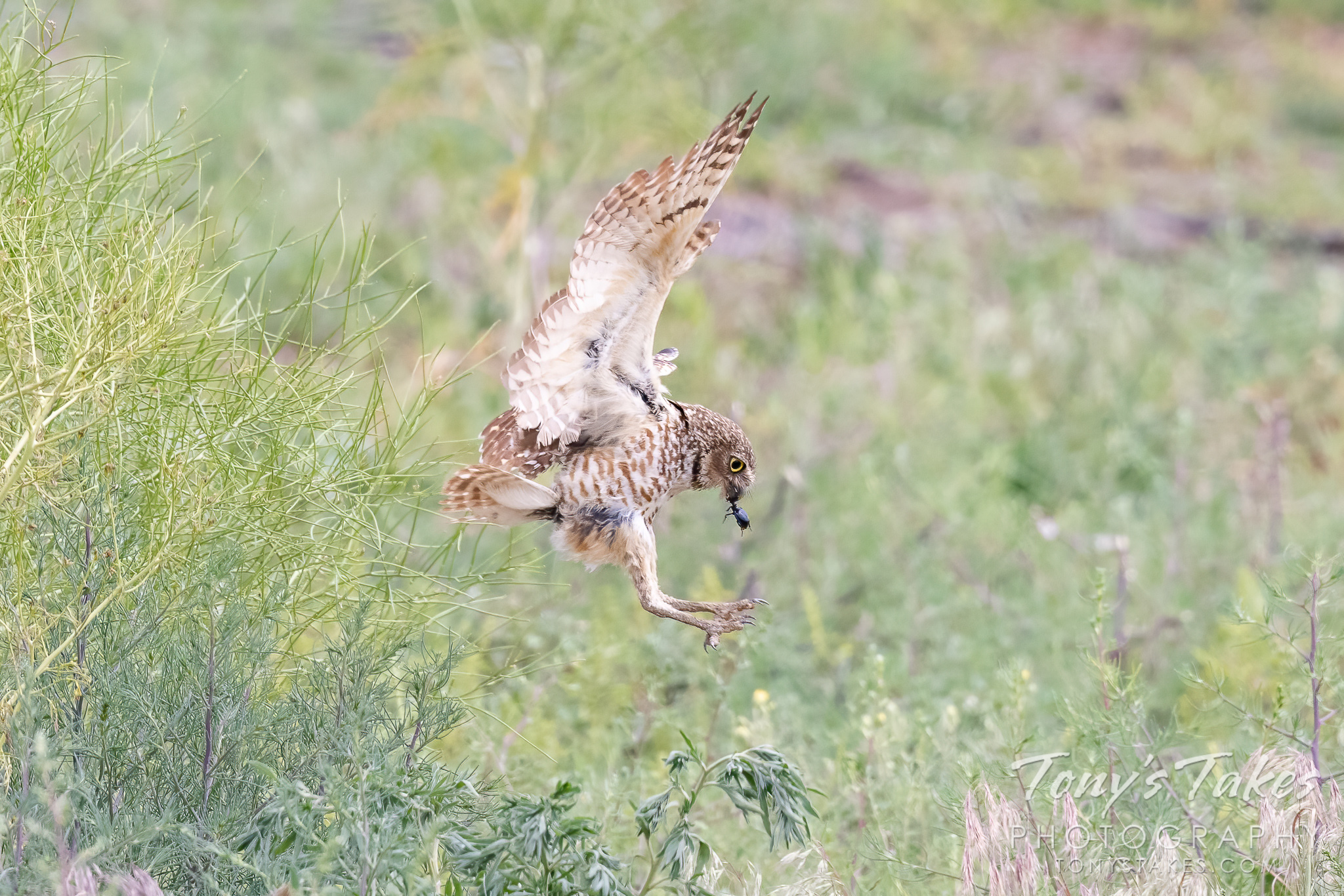 Burrowing owl brings home breakfast for the kiddos