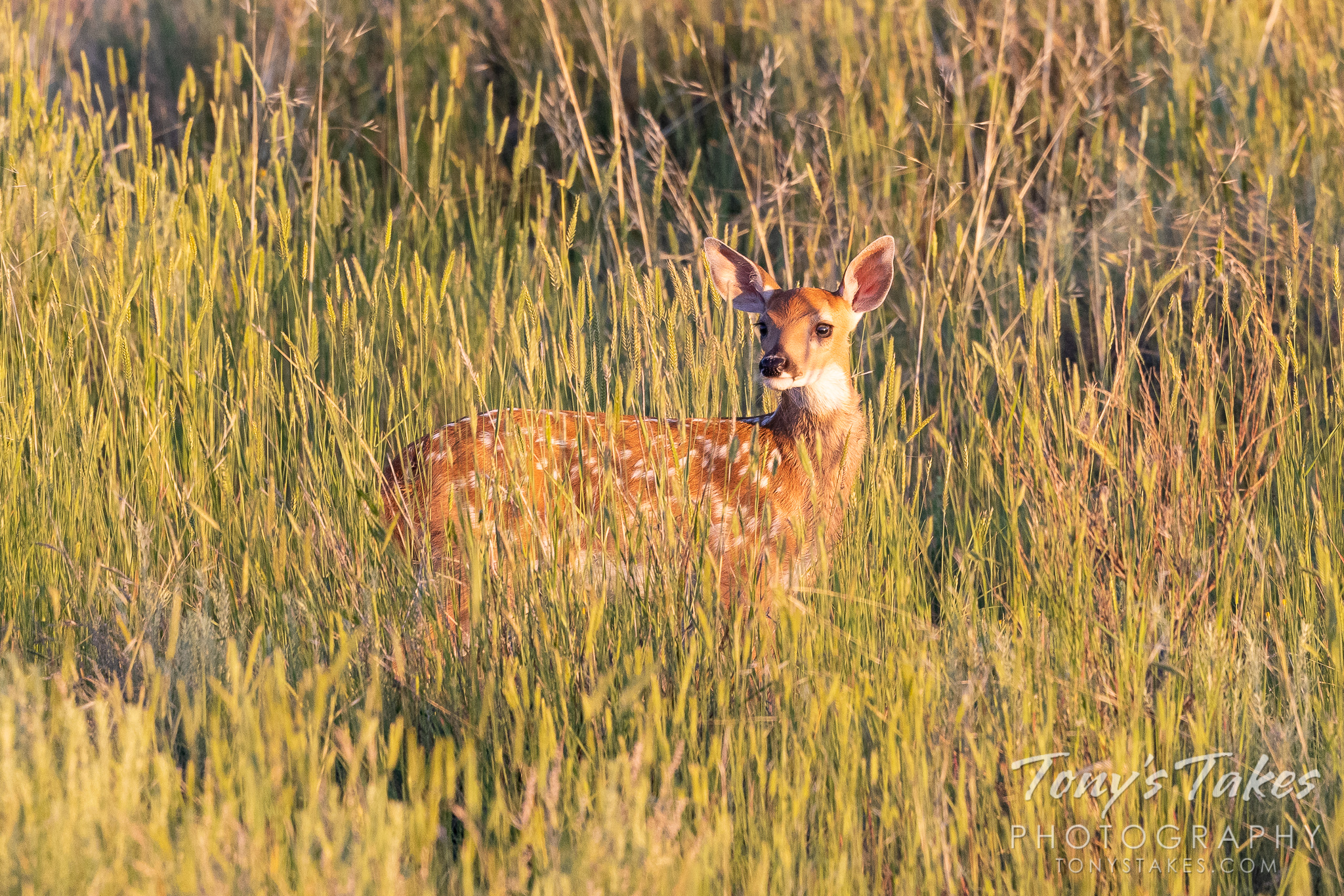 White-tailed deer fawn poses in the early morning light