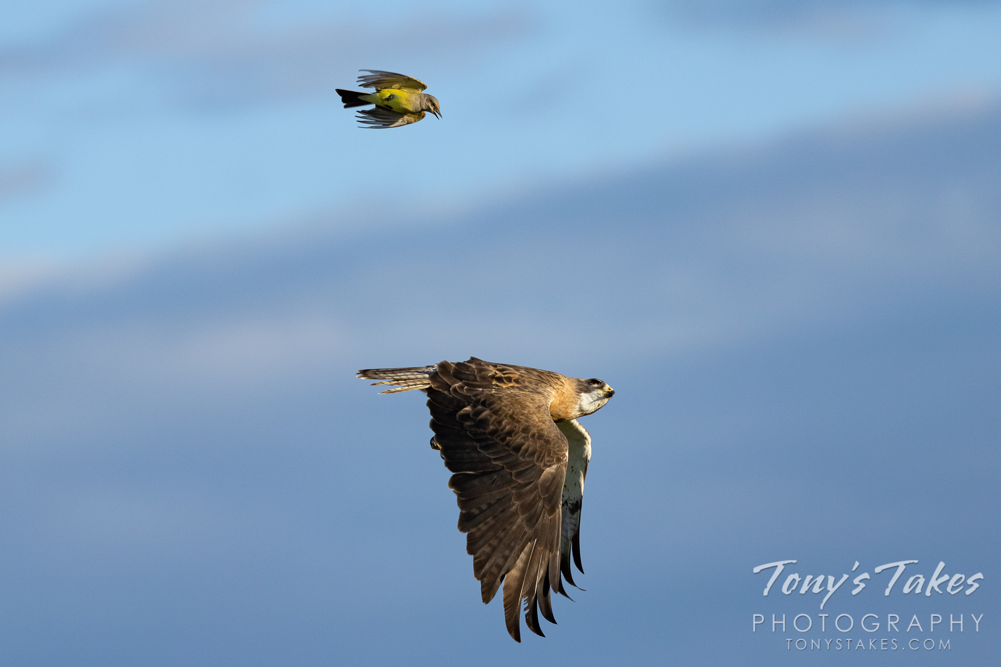 A western kingbird chases after a Swainson's hawk. (© Tony's Takes)