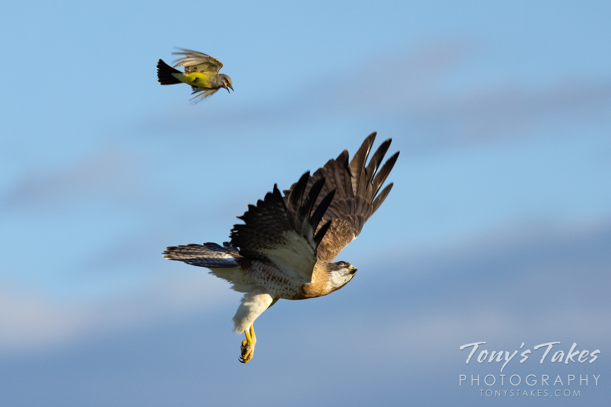 Western kingbird takes on a Swainson's hawk