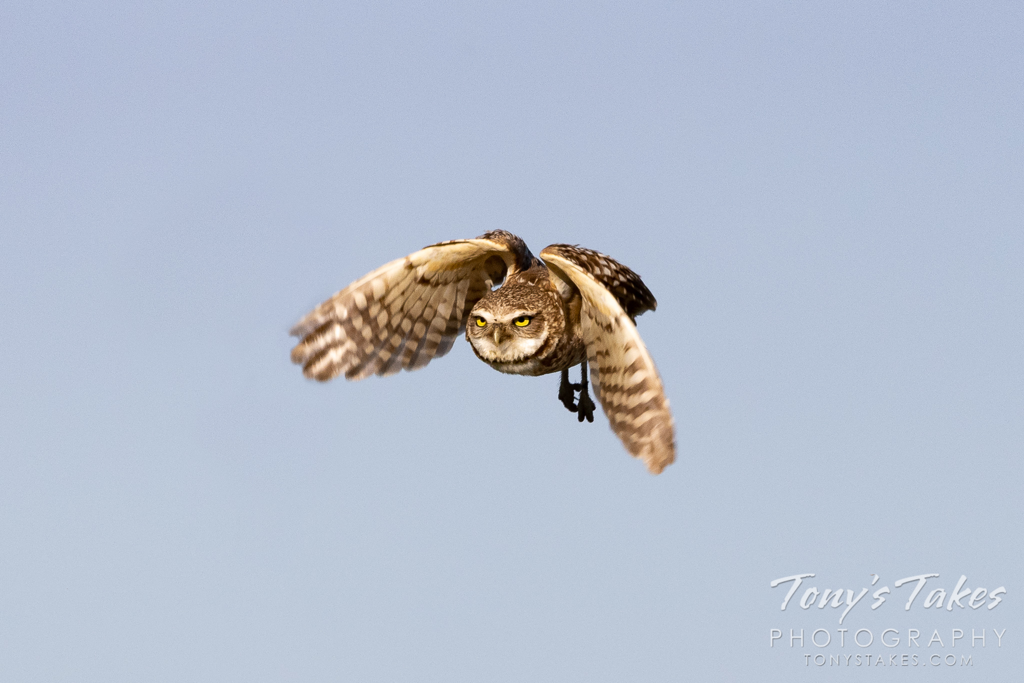 Burrowing owl takes flight