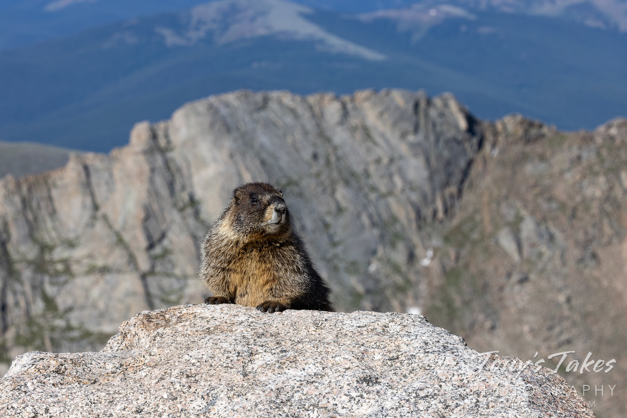 Yellow-bellied marmot at high altitude