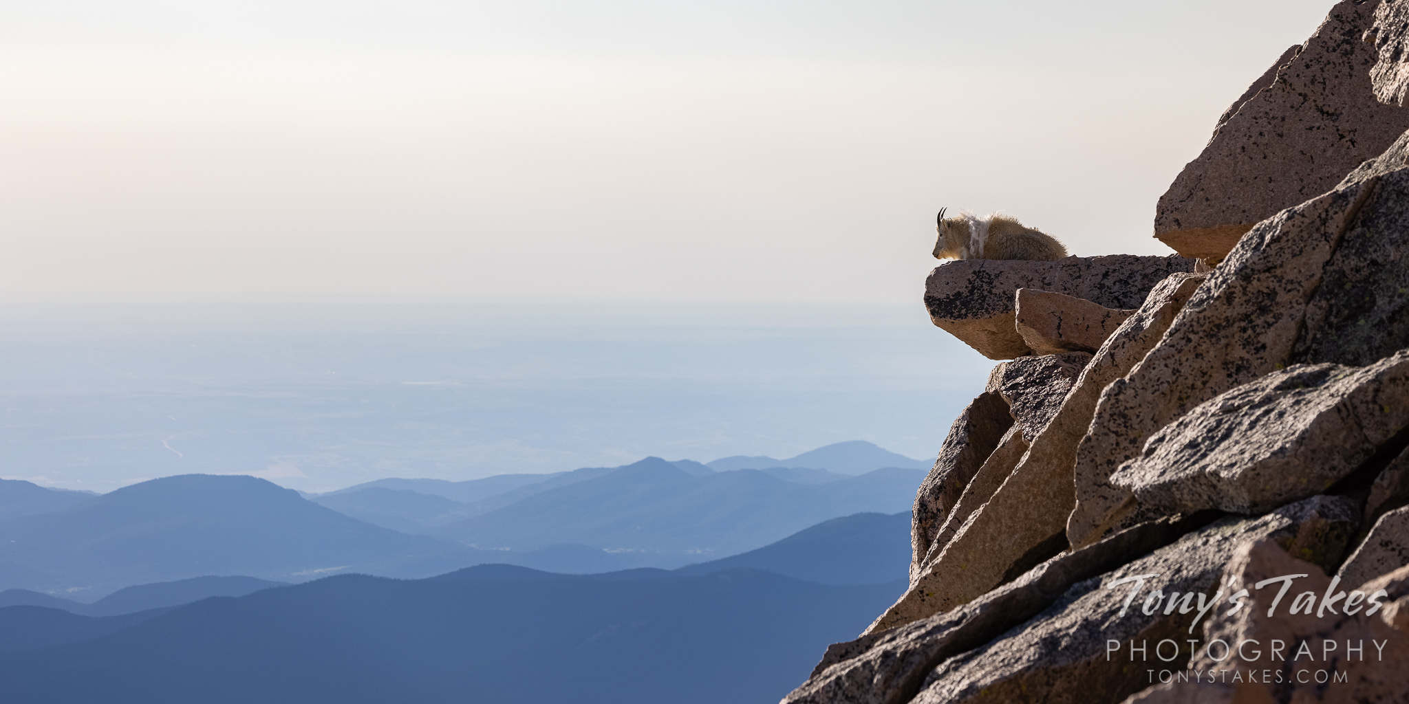 Mountain goat relaxes on high