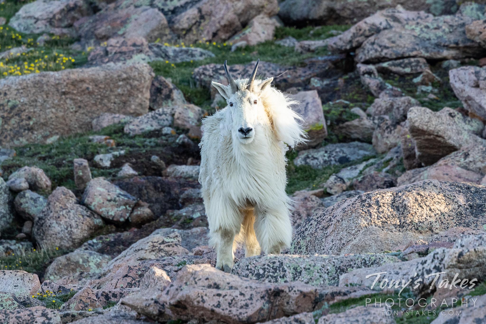 Fabio the fabulous mountain goat