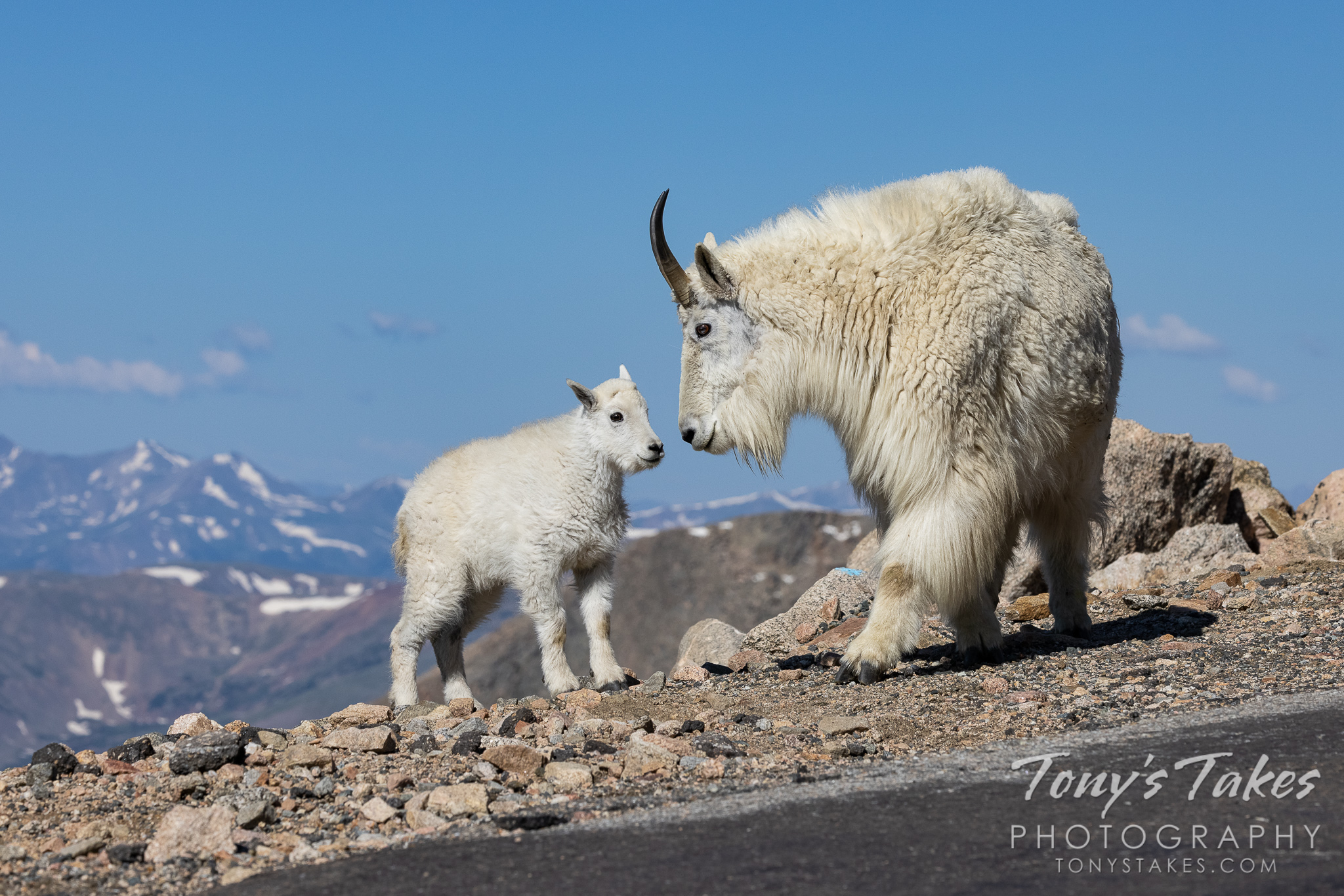 Mountain goat kid hangs out with mama