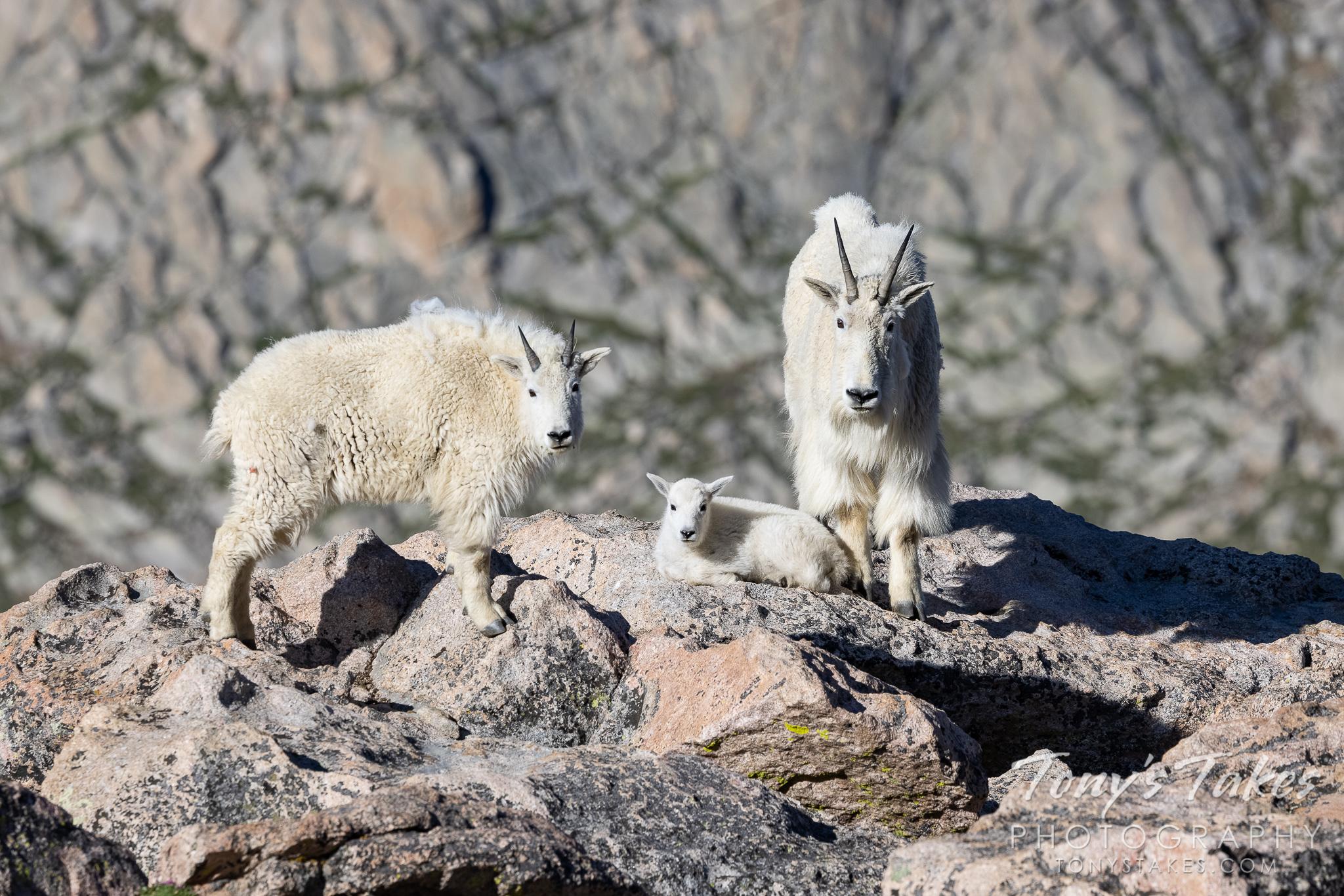 Mountain goat generations