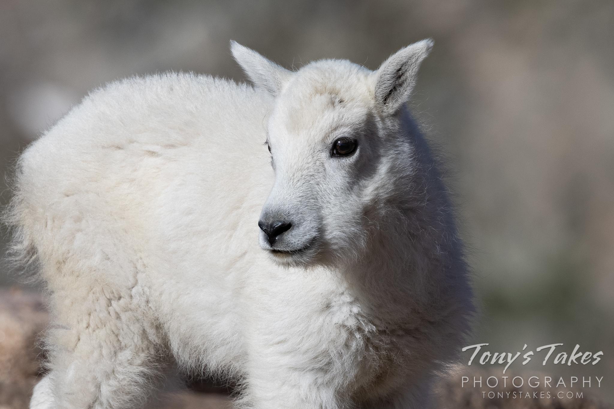 Portrait of a mountain goat kid