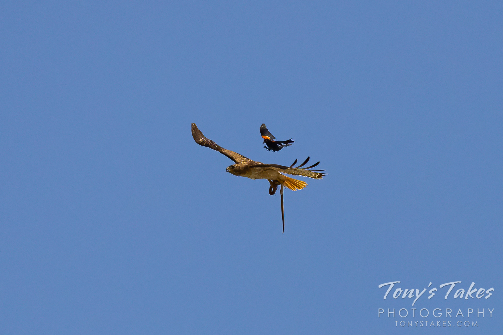 Red-winged blackbirds chase a red-tailed hawk and its snake breakfast. (© Tony's Takes)