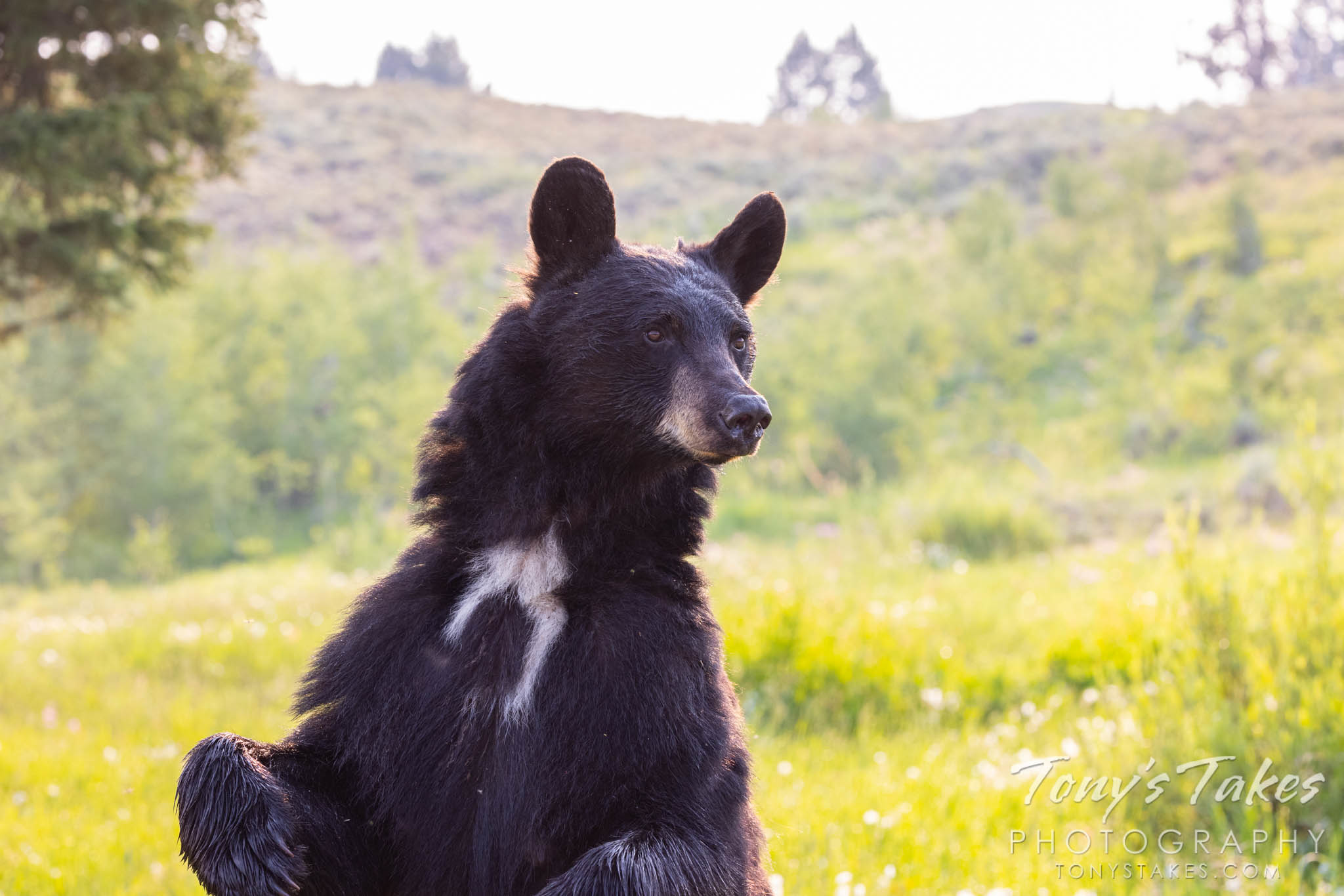 Mama bear stands tall, keeps watch