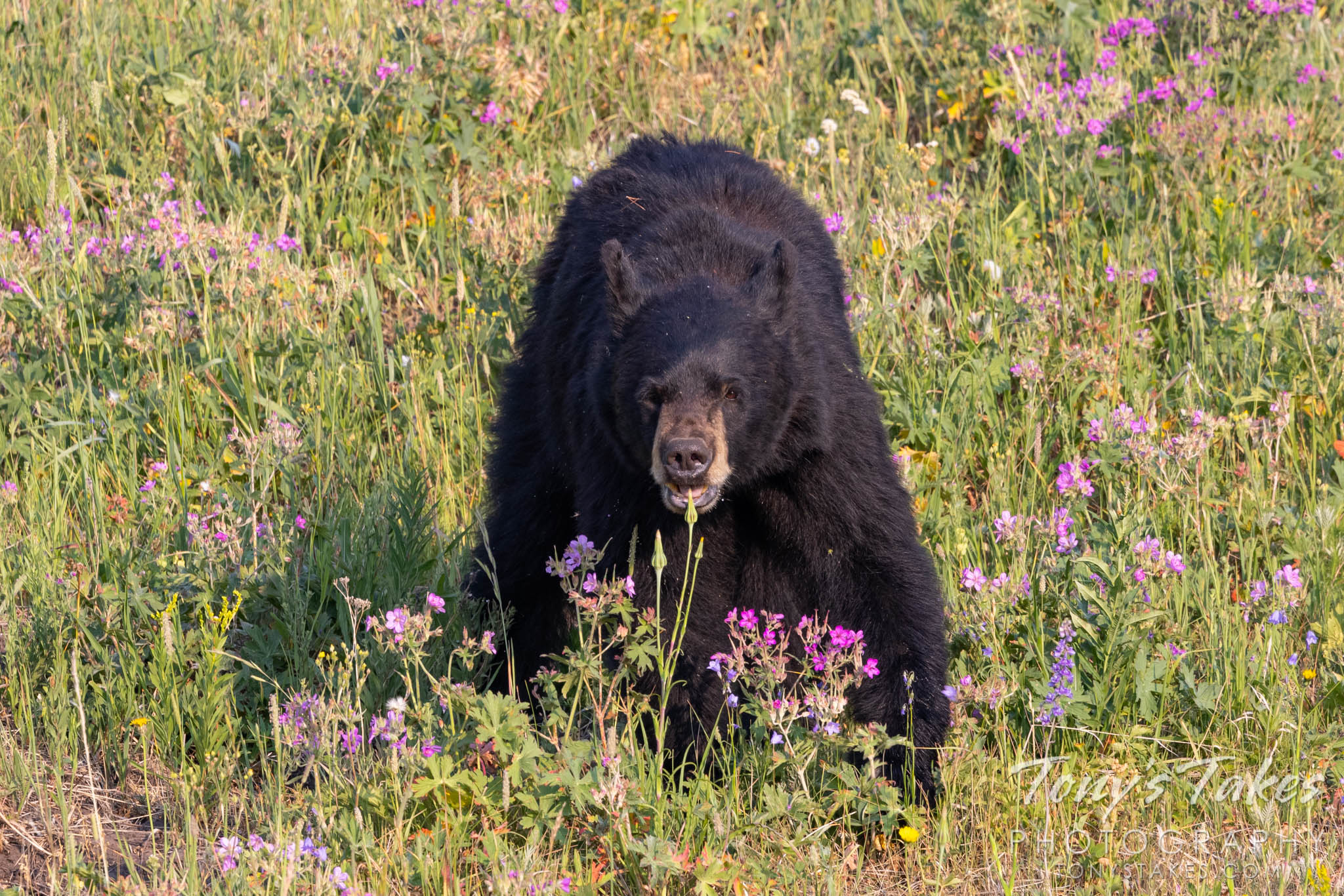 Black bear goes for the buds