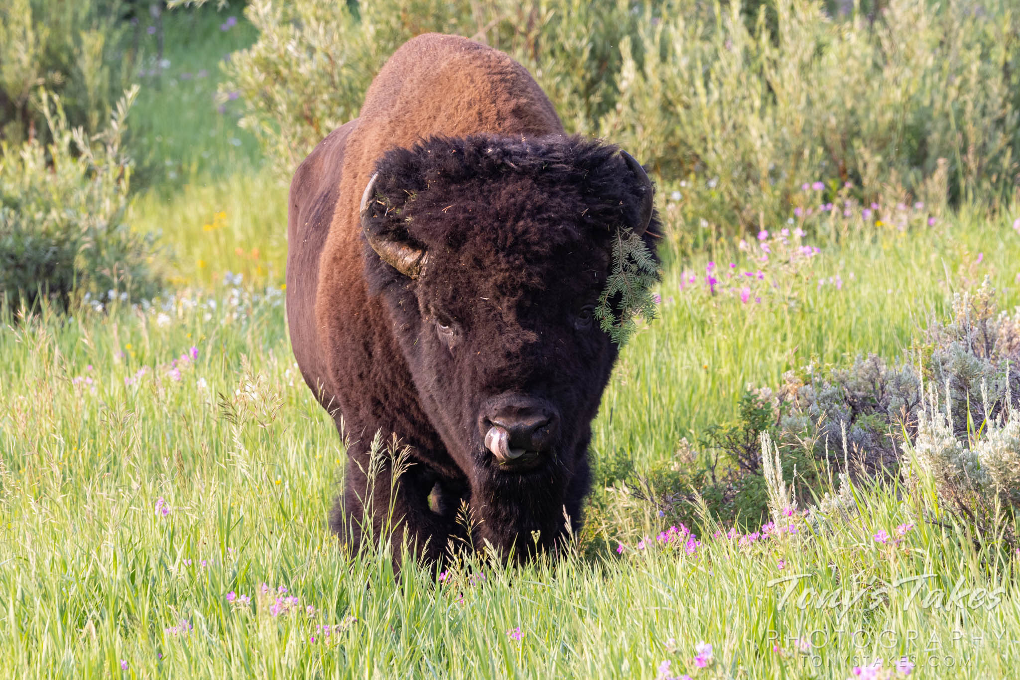 A big, bad bison bull – other than the tree branch hanging from his horn and the fact he is licking his nose