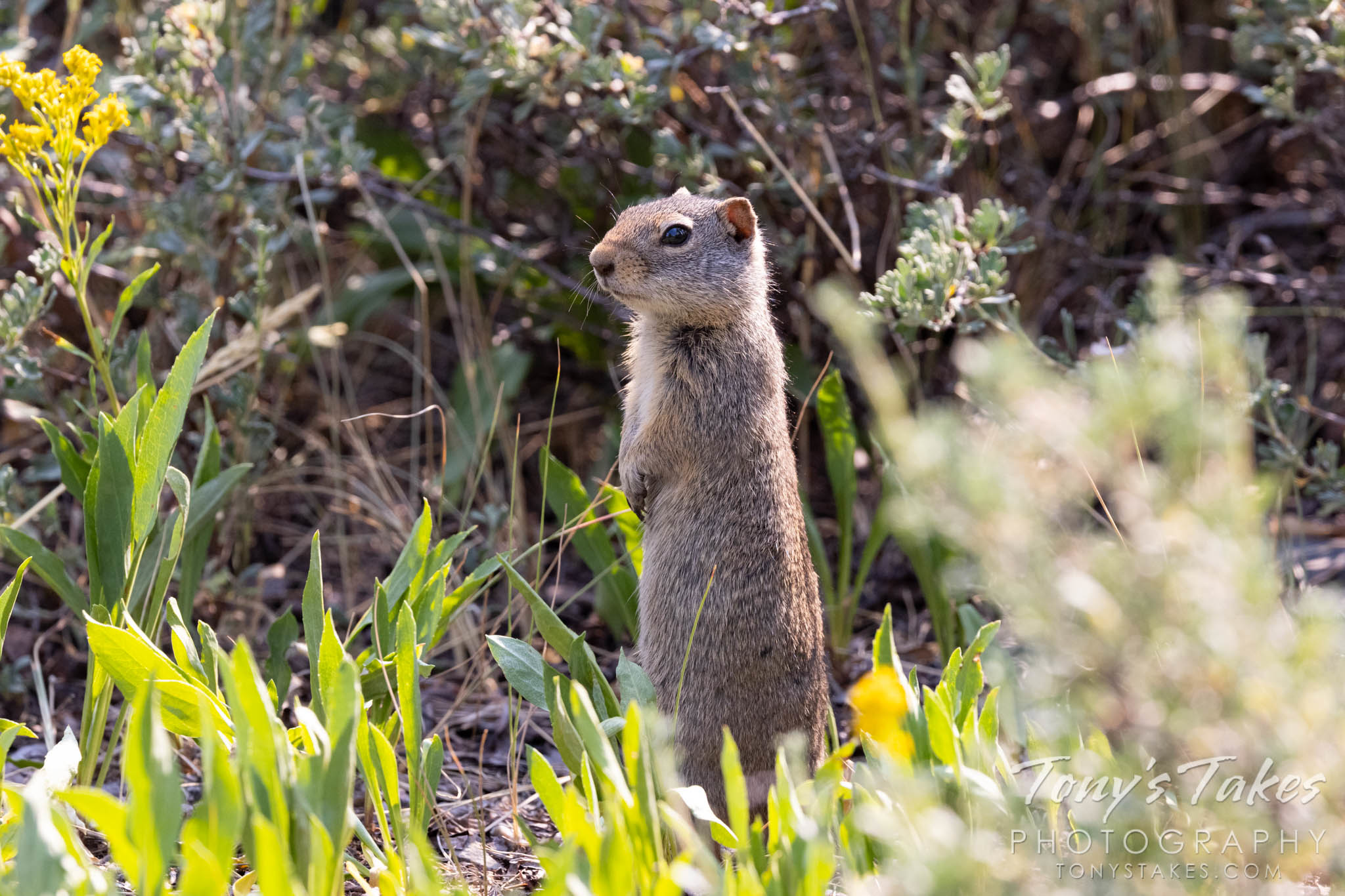 Squirrel pops tall, keeps watch
