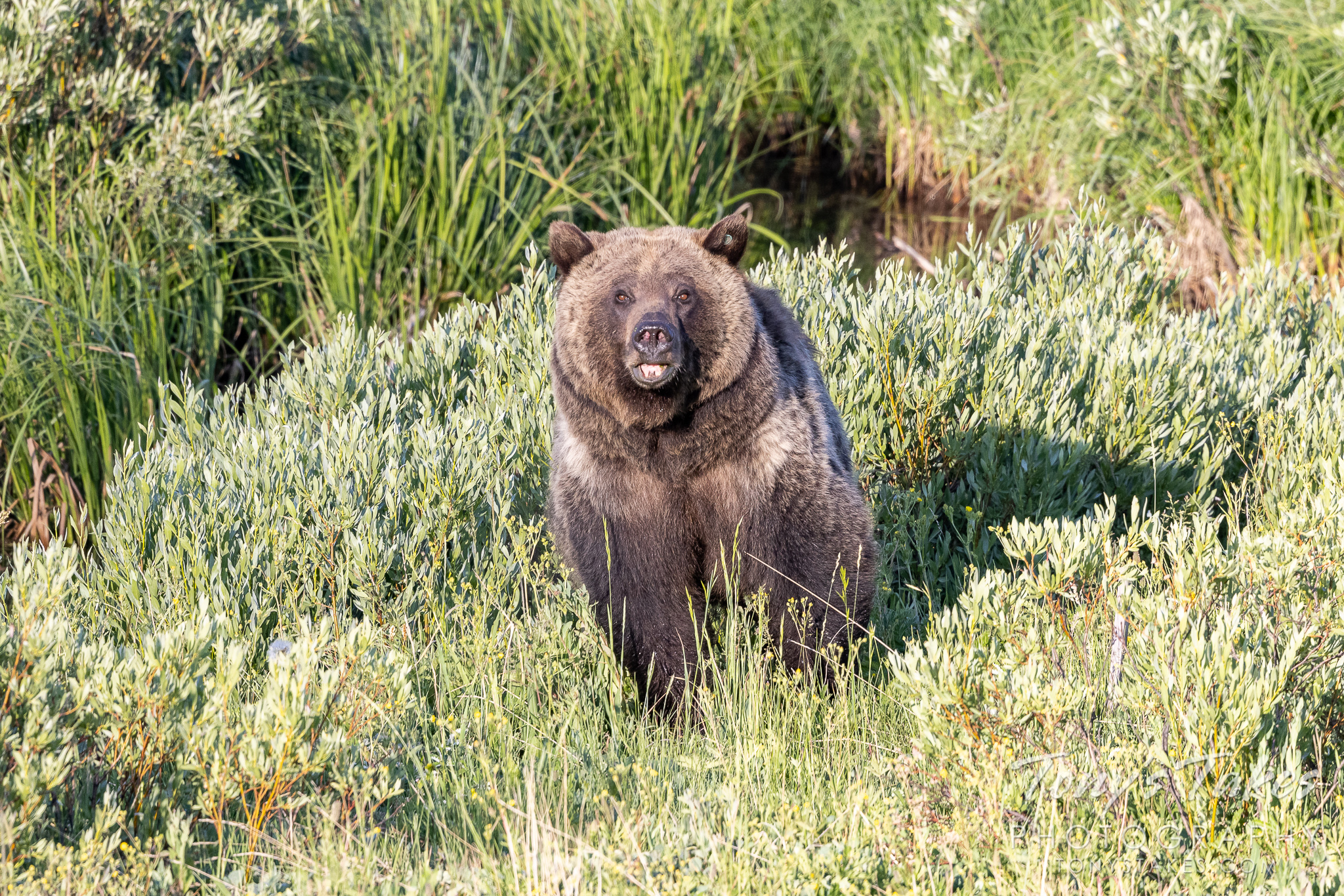 Mama grizzly head on