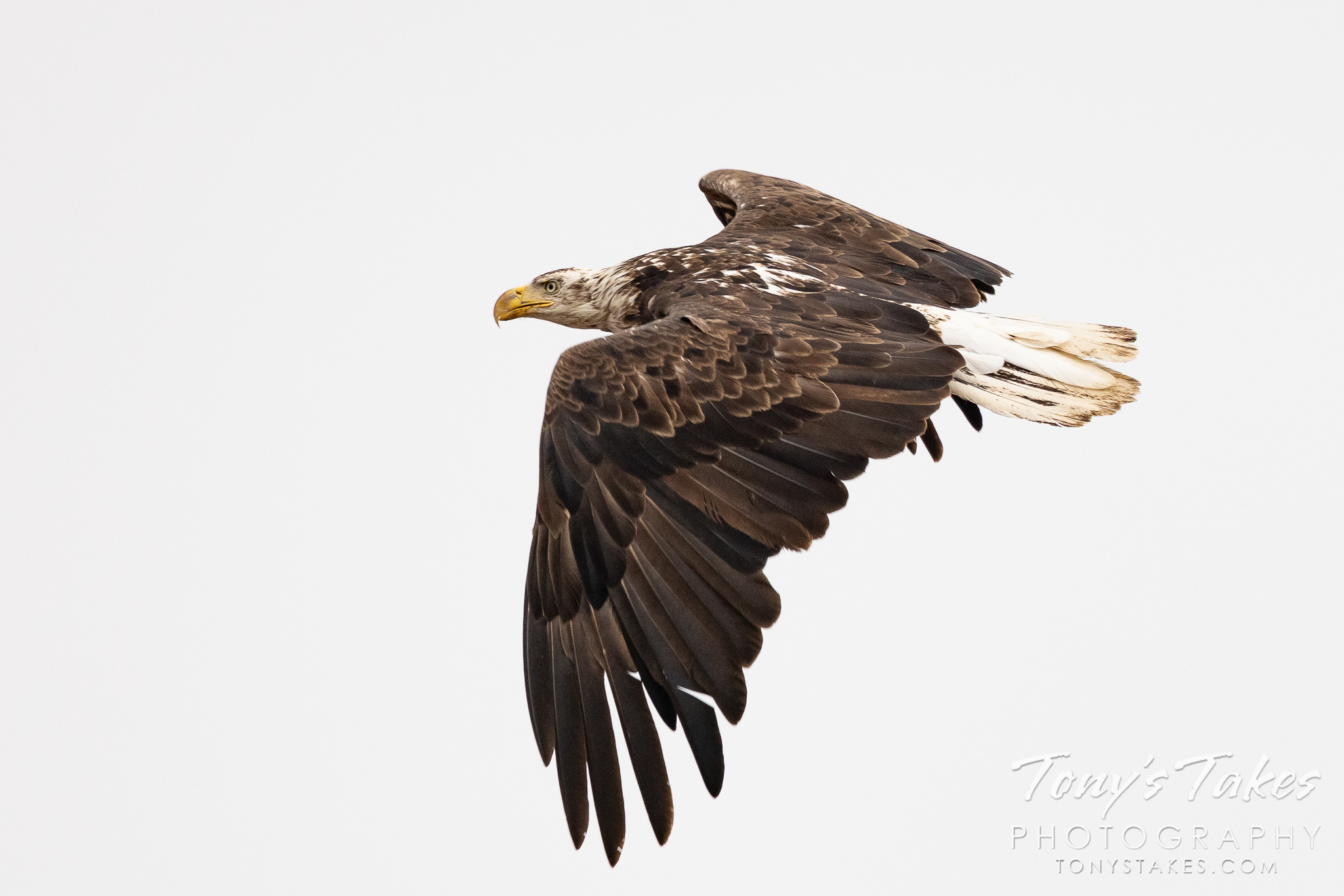 Young bald eagle makes a hasty retreat