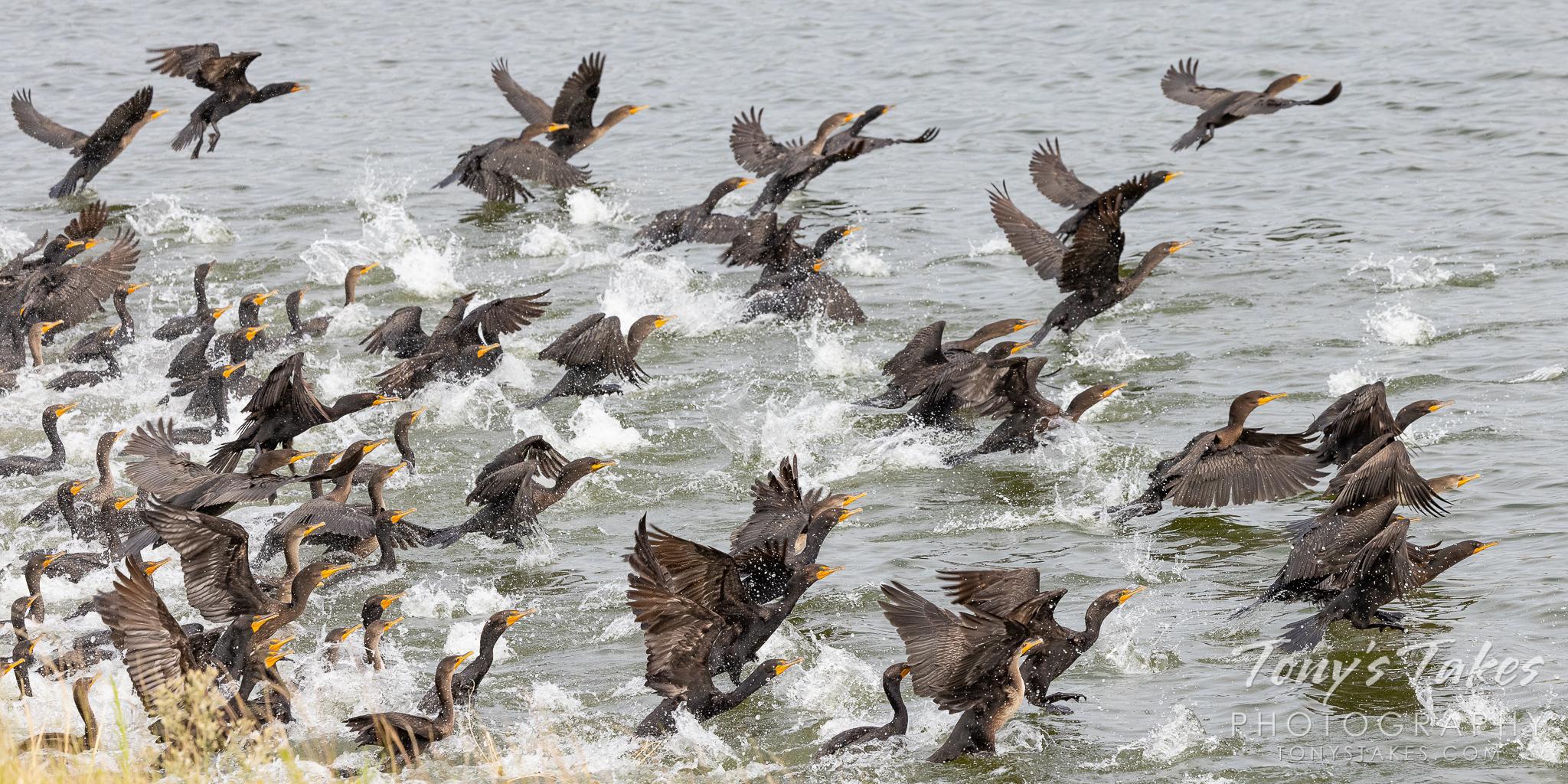 Cormorant calamity