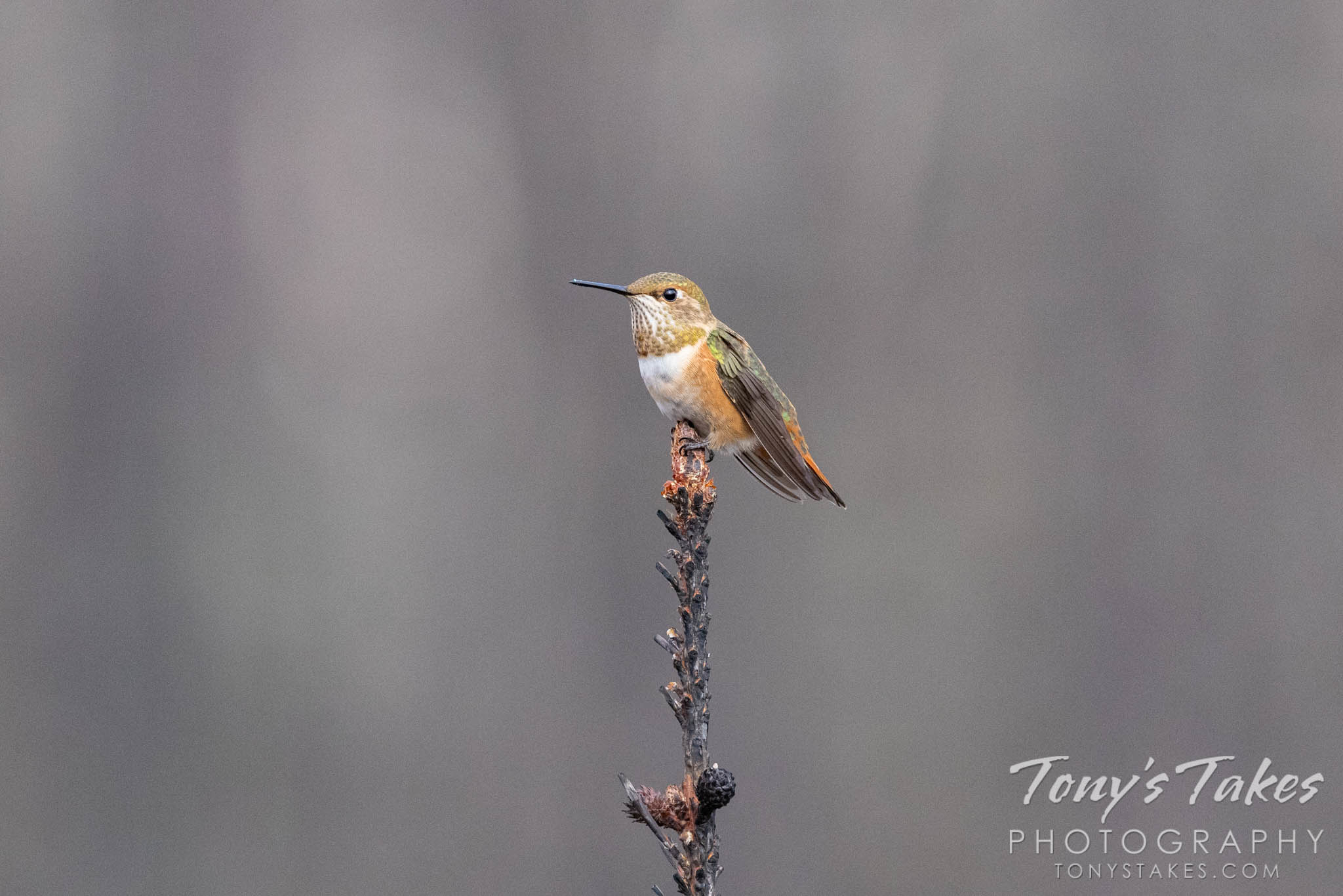 Hummingbird takes a break on a burnt tree