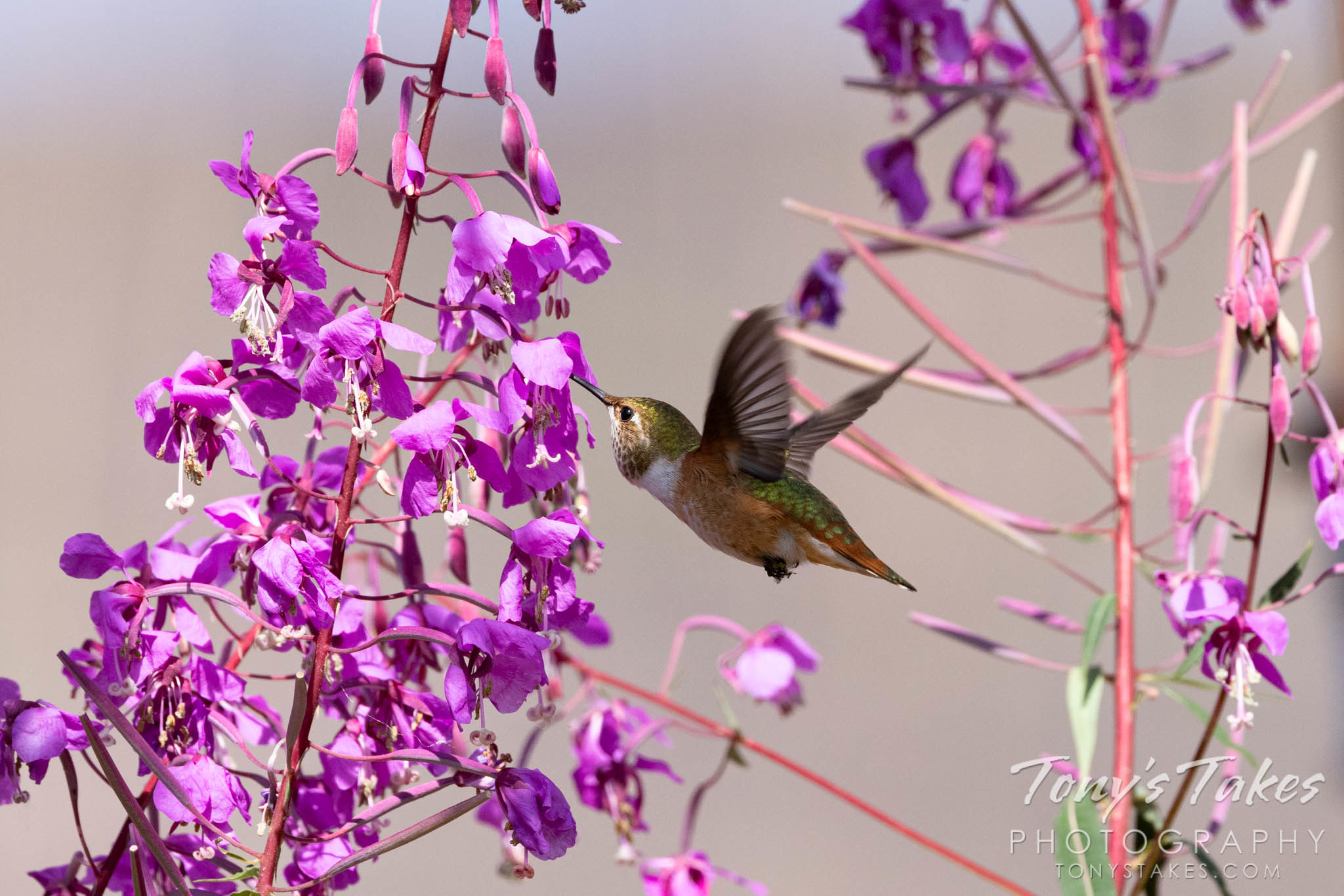 Hummingbird gets a drink from fireweed