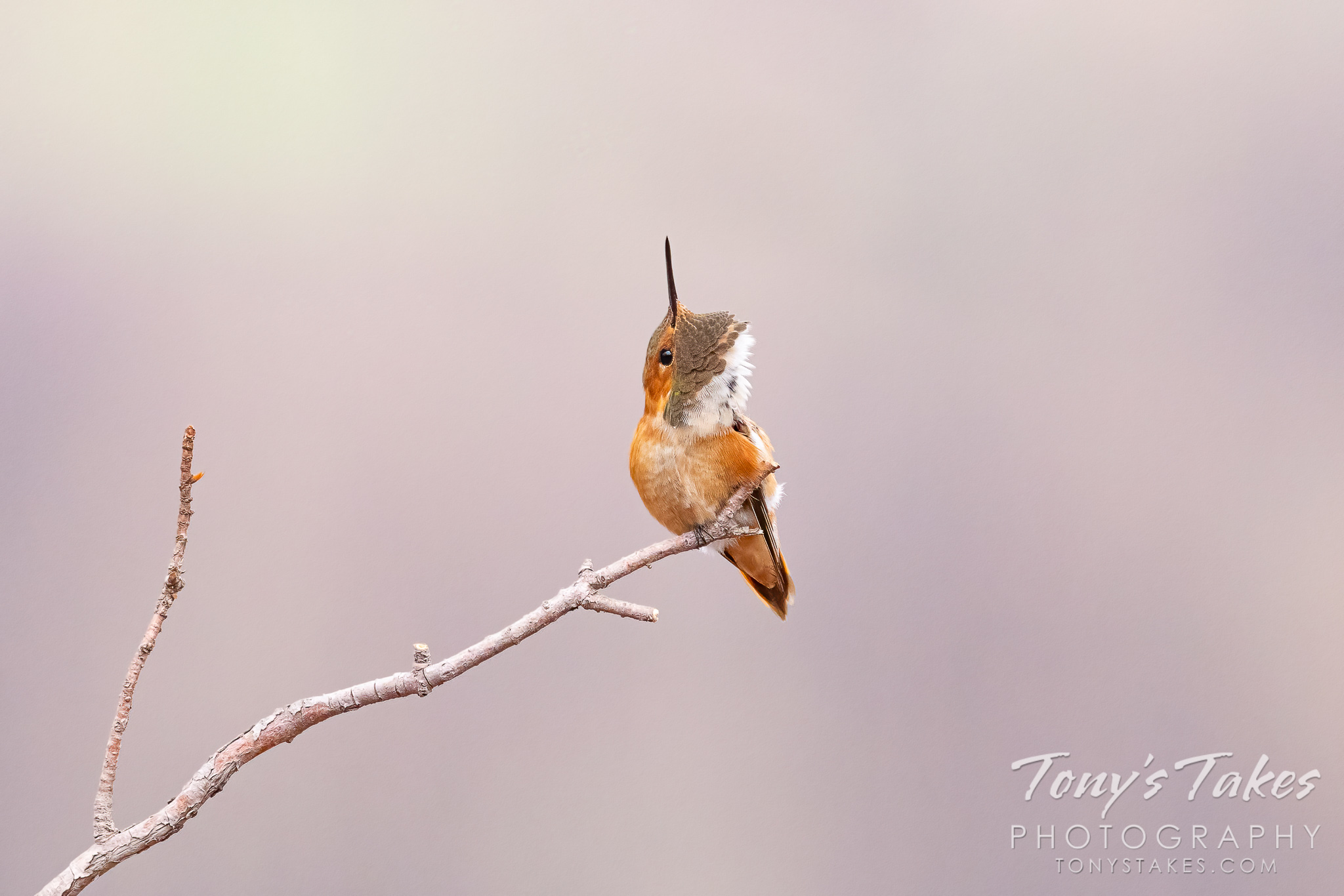 A rufous hummingbird scratches its chin. (© Tony's Takes)