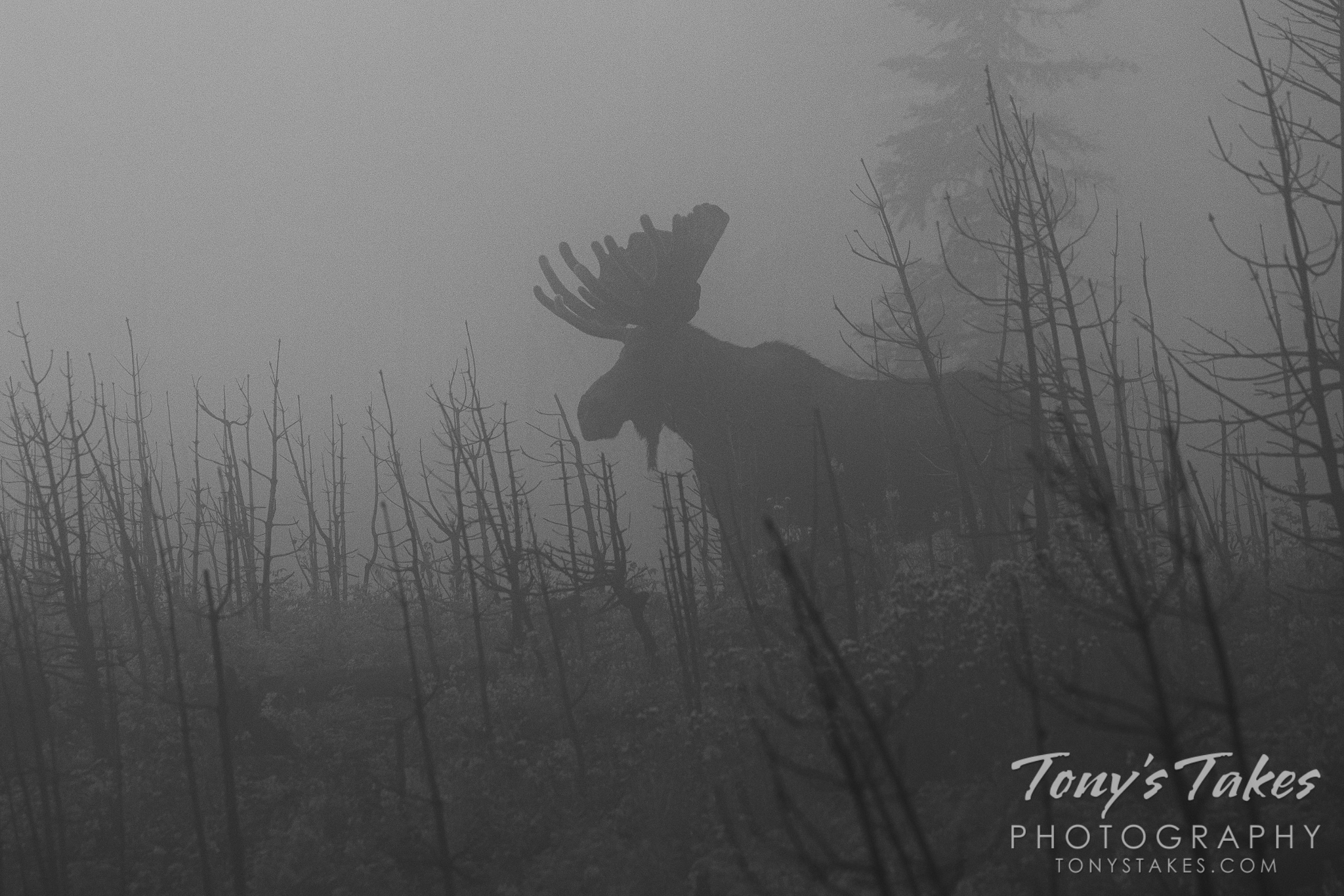 The foggy morning sentinel for Moose Monday